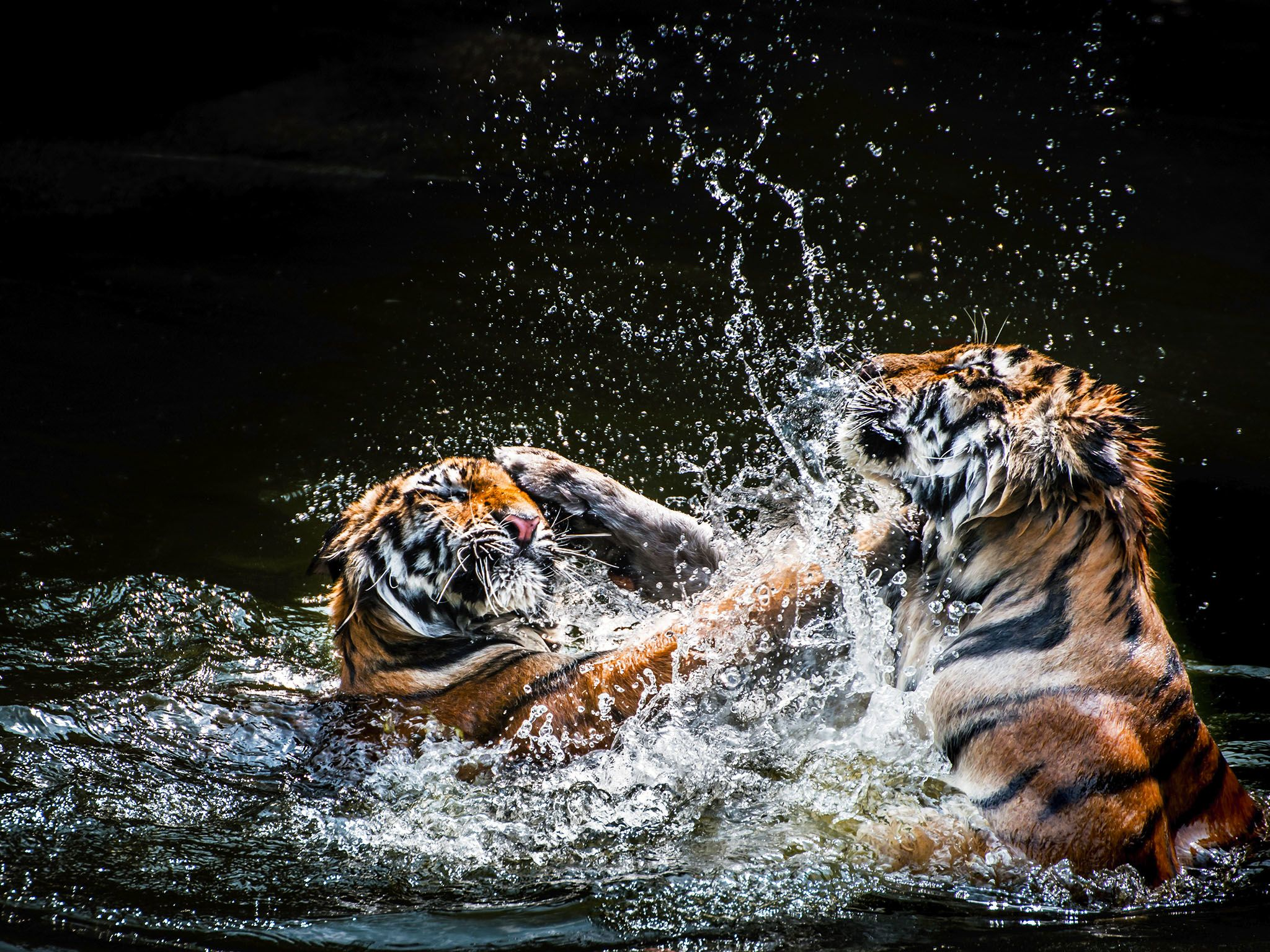 Tigers wrestle in the water. Tigers usually live 8 to 10 years in the wild. This image is from... [Photo of the day - September 2015]