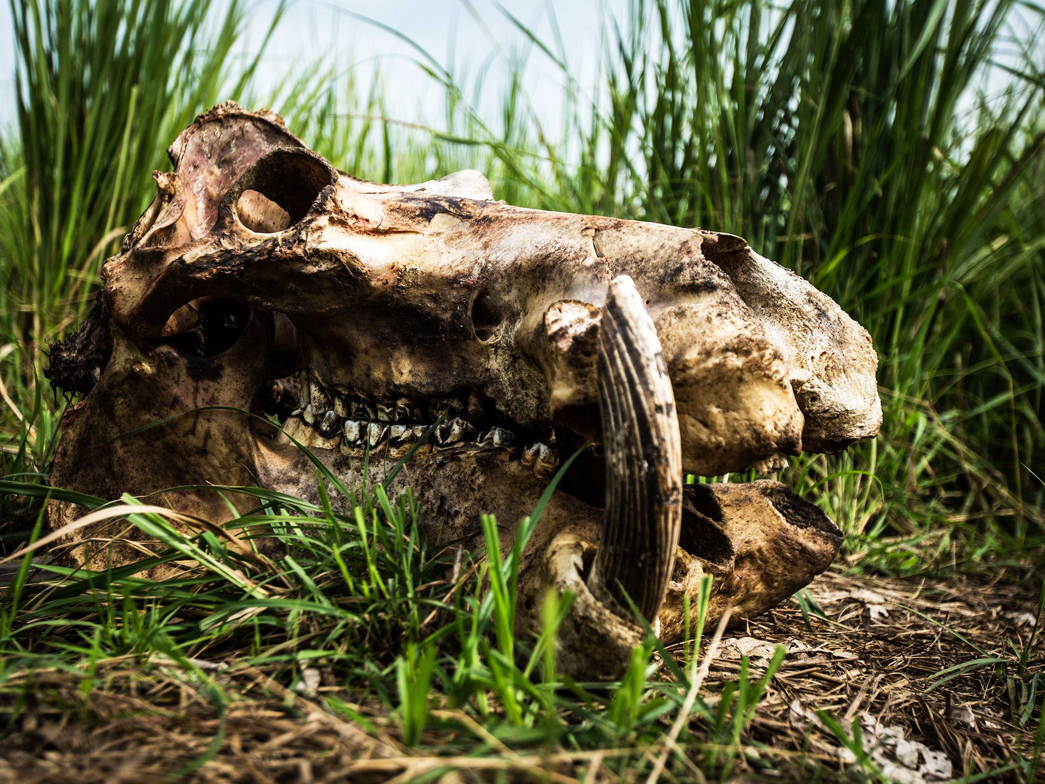 Garamba National Park, Democratic Republic Of Congo: The remains of a hippopotamus that was... [Photo of the day - September 2015]