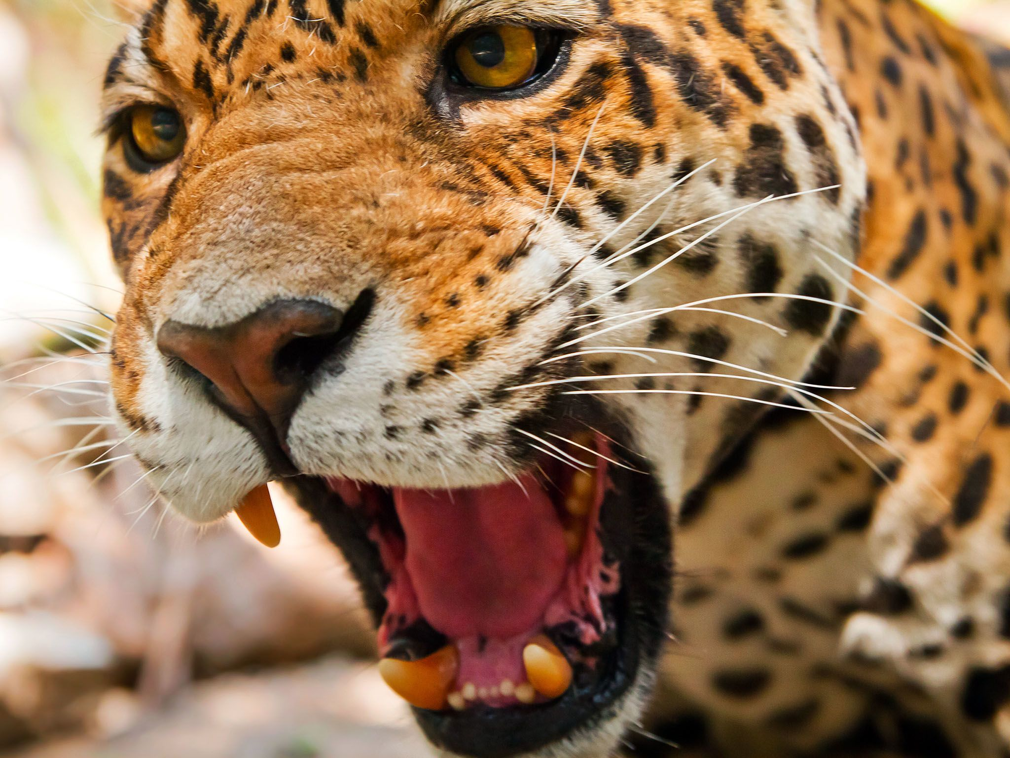The Jaguar has the most powerful bite, pound for pound, of the big cats. This image is from... [Photo of the day - September 2015]