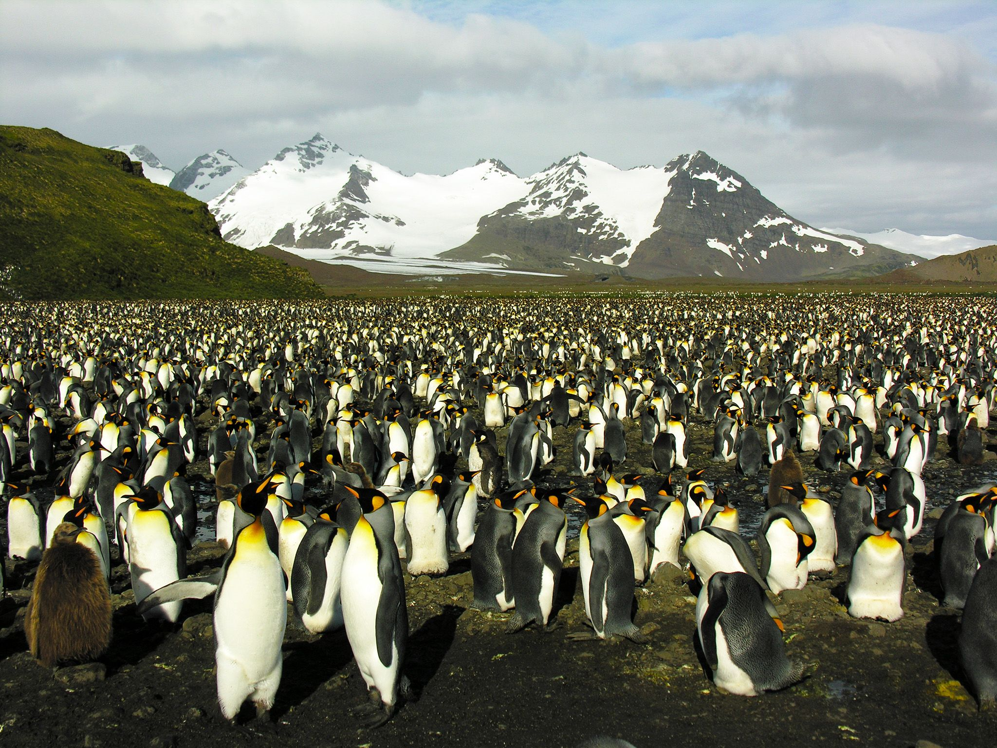 South Georgia: A great number of King Penguins in South Georgia, with snow-capped mountains and... [Photo of the day - 十月 2015]