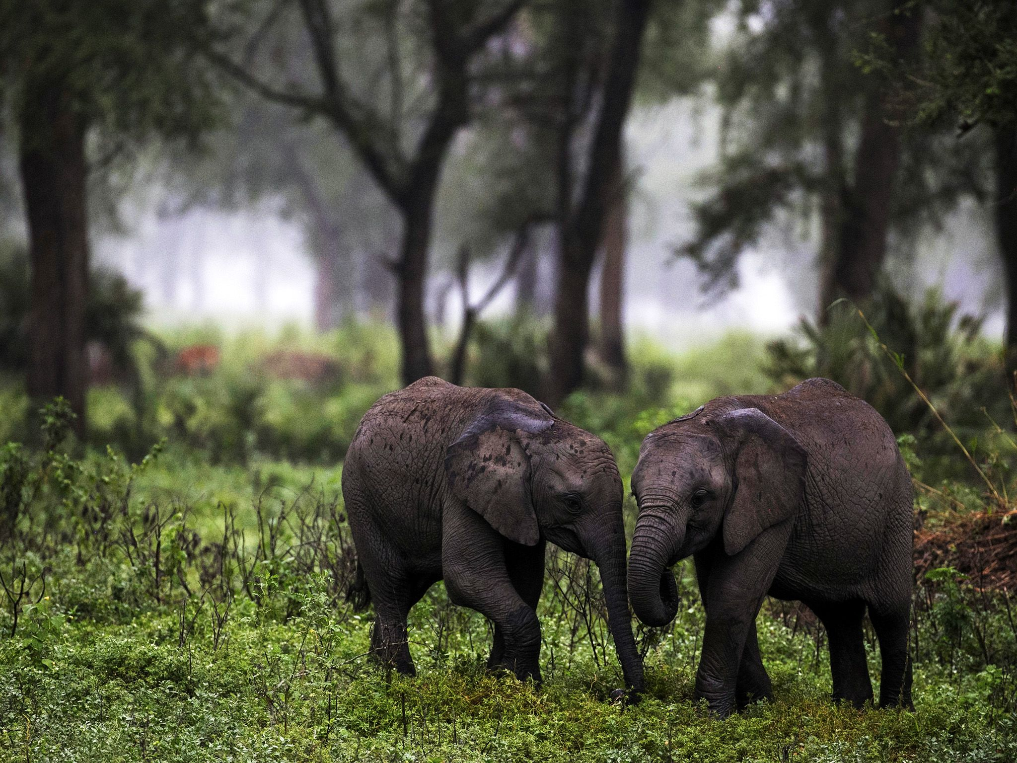 Mozambique: Two calves play in the morning mist. Gorongosa National Park, Mozambique. This image... [Photo of the day - 十月 2015]