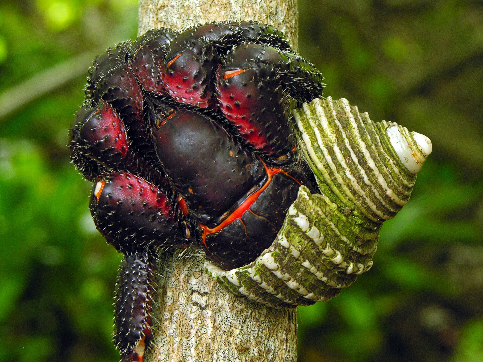 Henderson Island, Pitcairn Islands: A large, dark Hermit Crab climbs a tree. This image is from... [Photo of the day - 十月 2015]