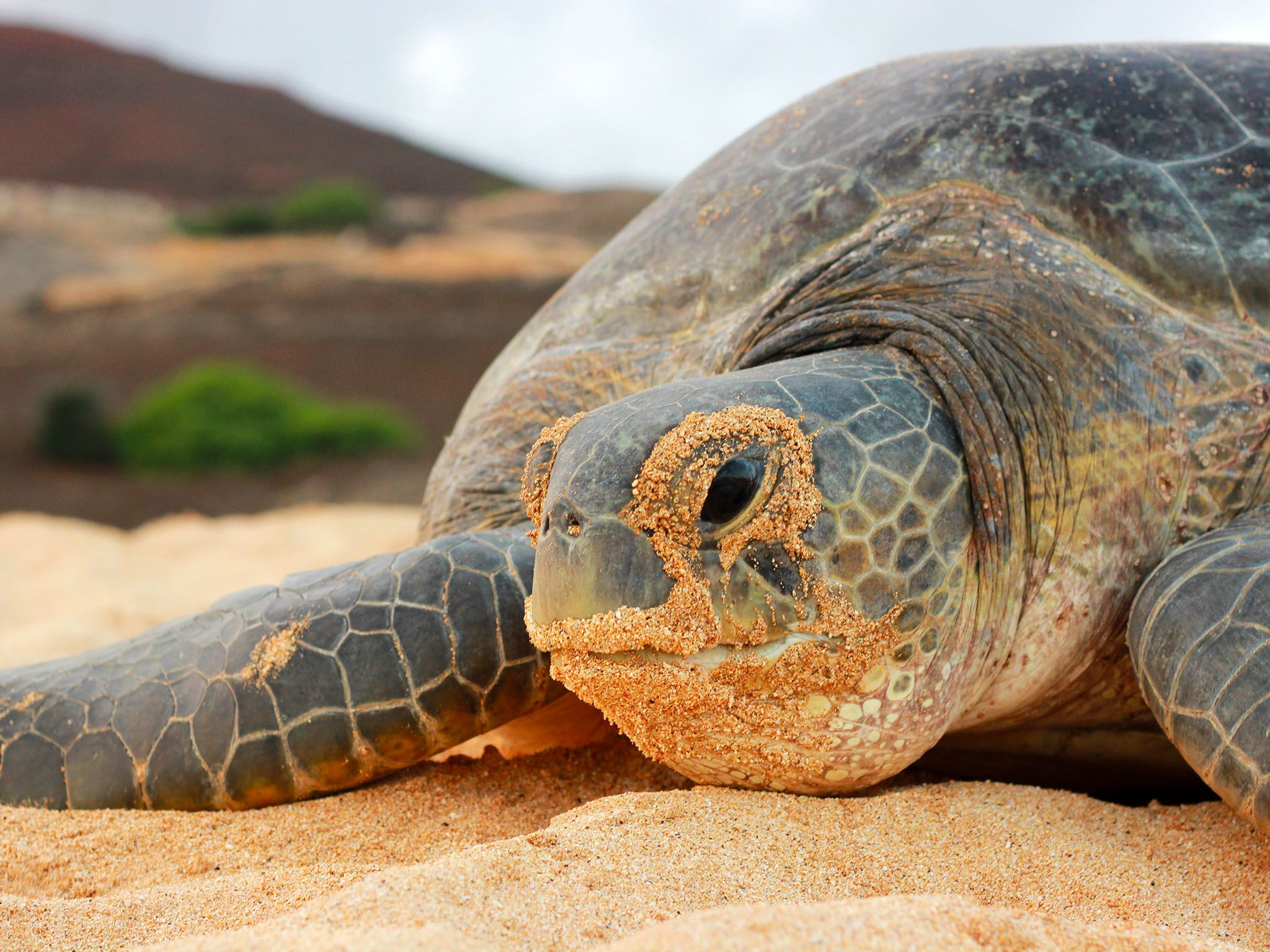 Ascension Island: Close-up of a Green Turtle, its face covered in sand. This image is from Wild... [Photo of the day - October 2015]