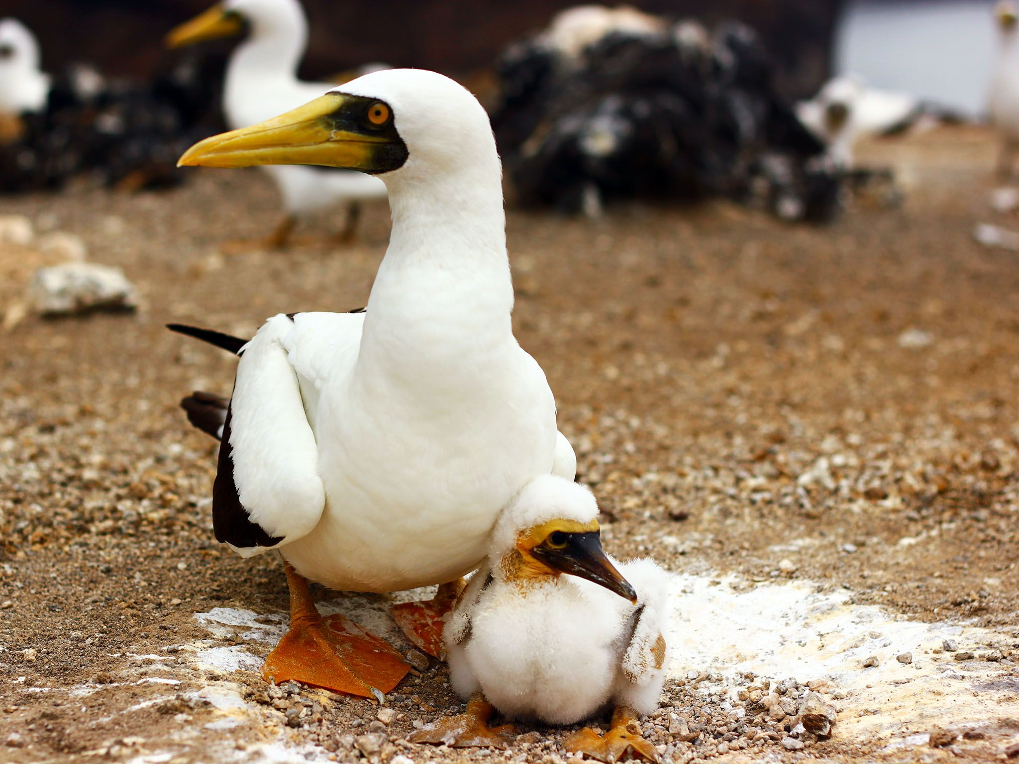 Boatswain Bird Island, Ascension Island: Masked Booby with its chick, amidst rocks - others... [Photo of the day - October 2015]