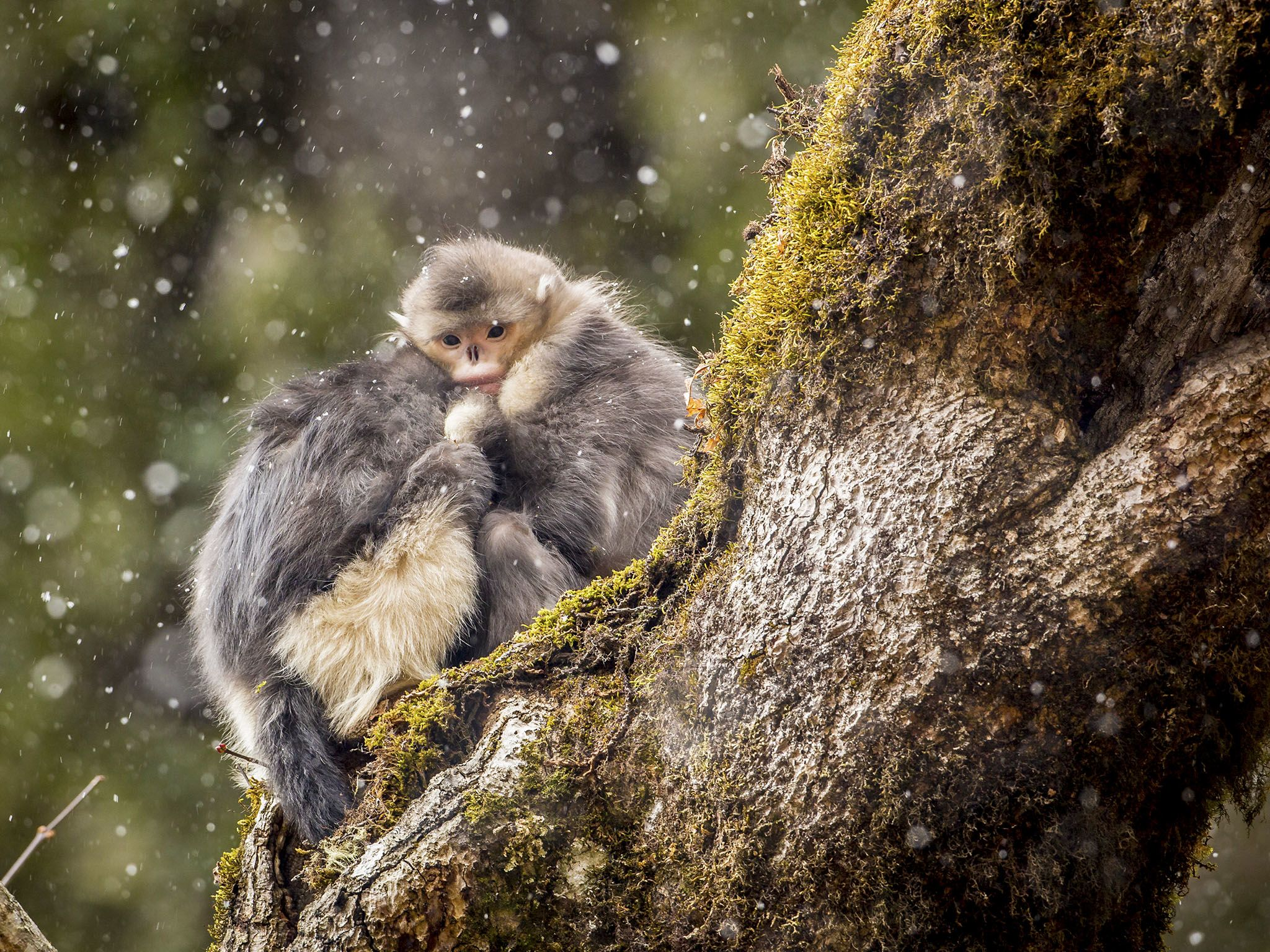 Two juveniles caught in the snow, snub-nosed monkey, Rhinopithecus bieti. This image is from... [Photo of the day - November 2015]