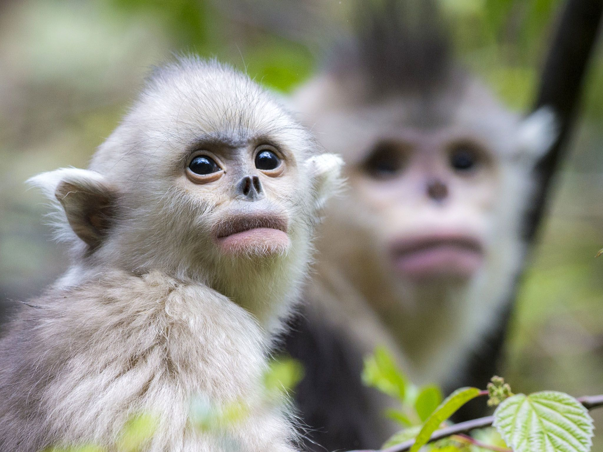 Yearling and mother snub-nosed monkey, Rhinopithecus bieti. This image is from Snub-Nosed Monkeys. [Photo of the day - November 2015]