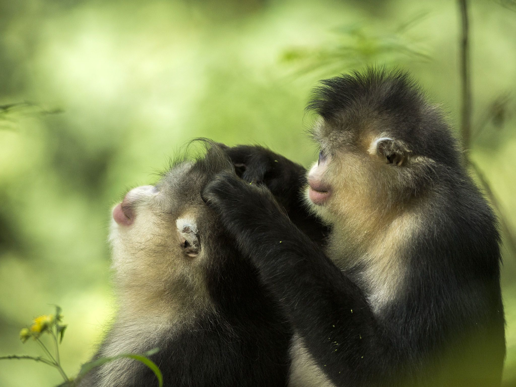 A female grooms the family male snub-nosed monkey, Rhinopithecus bieti. This image is from... [Photo of the day - November 2015]