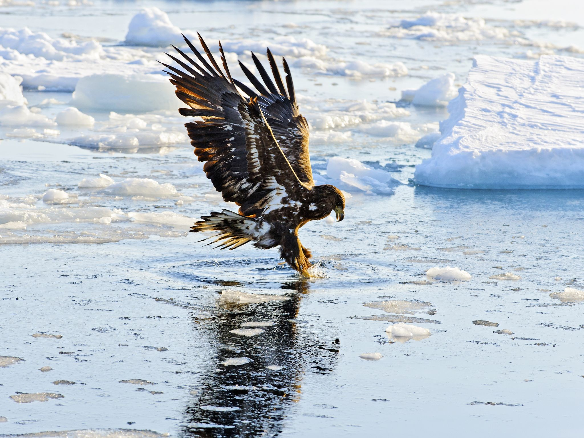 A White tailed eagle (Haliaeetus albicilla) fishing.  This image is from Winter Wonderland. [Photo of the day - December 2015]