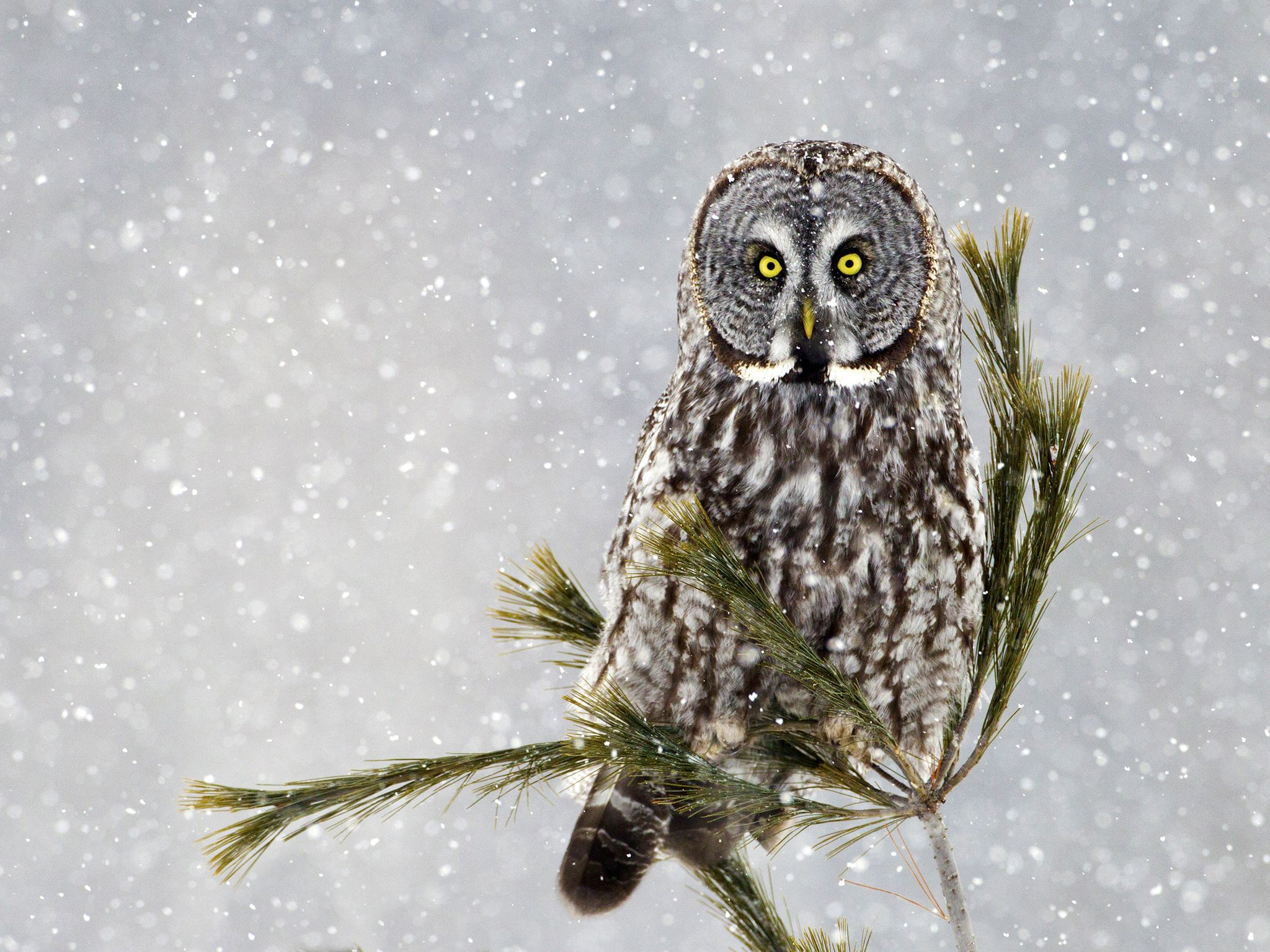 A Great Grey Owl on pine in a snow storm. This image is from Winter Wonderland. [Photo of the day - December 2015]