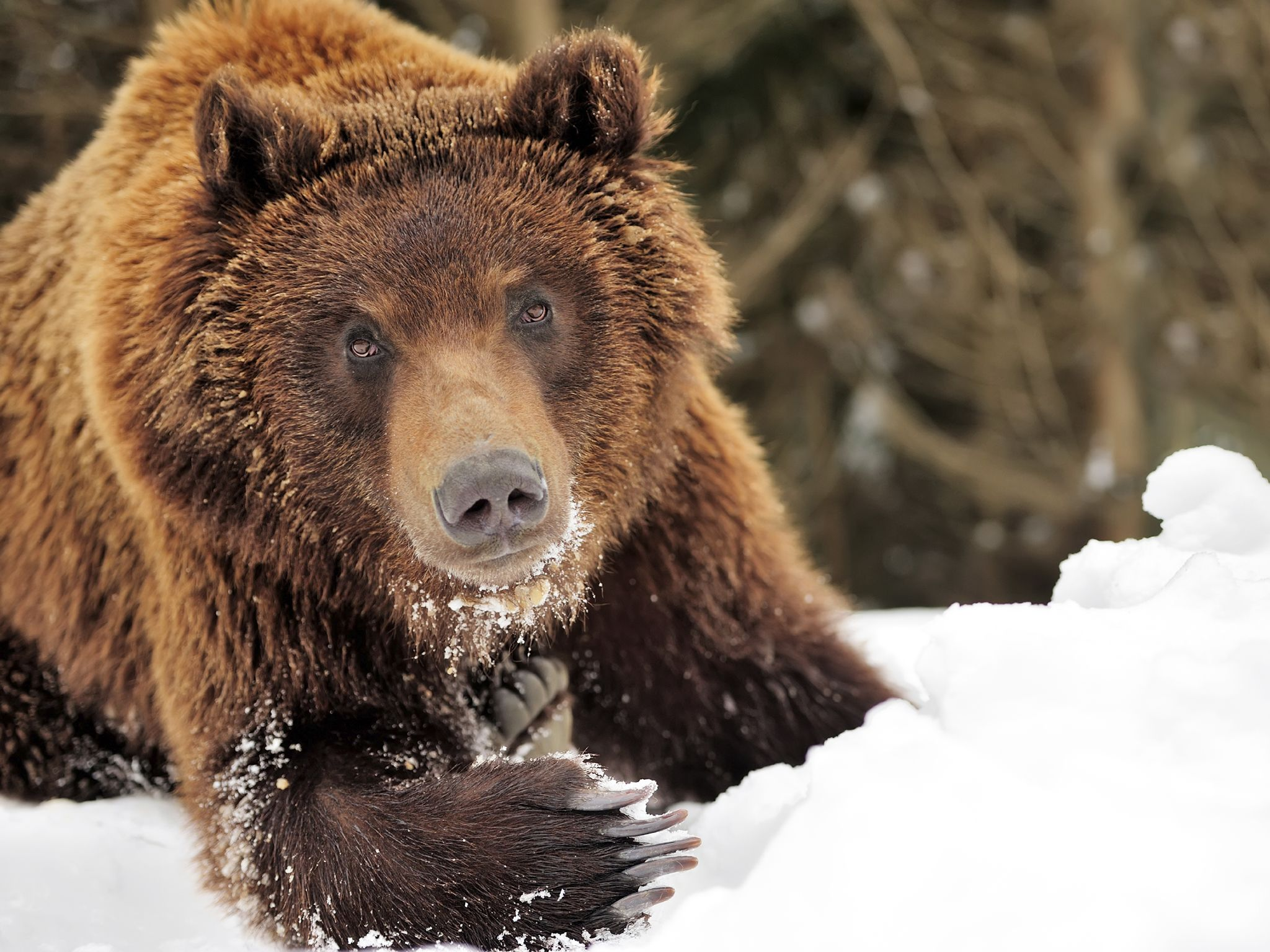 A wild brown bear in a winter forest. This image is from Winter Wonderland. [Photo of the day - December 2015]