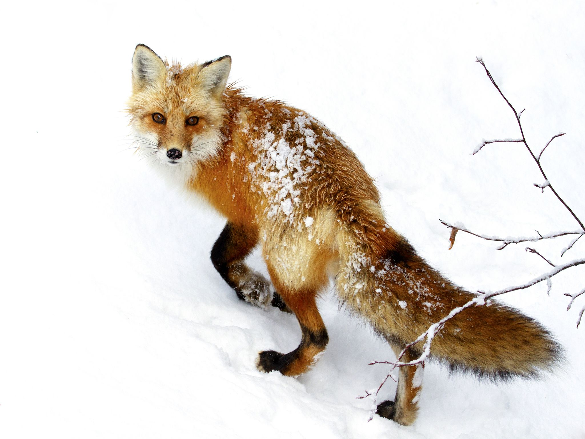 A Red fox in snow. This image is from Winter Wonderland. [Photo of the day - December 2015]