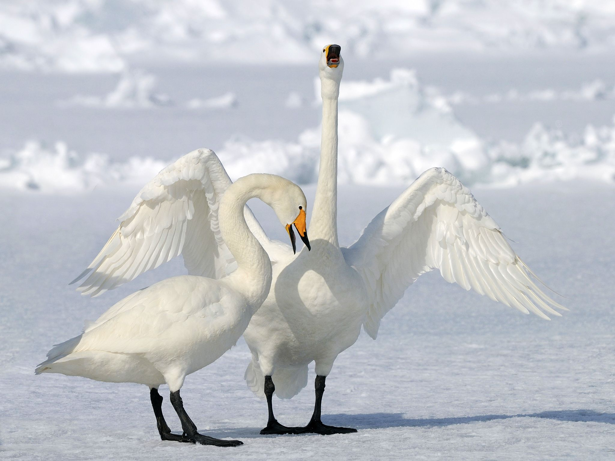 Whooper swans. This image is from Winter Wonderland. [Photo of the day - December 2015]