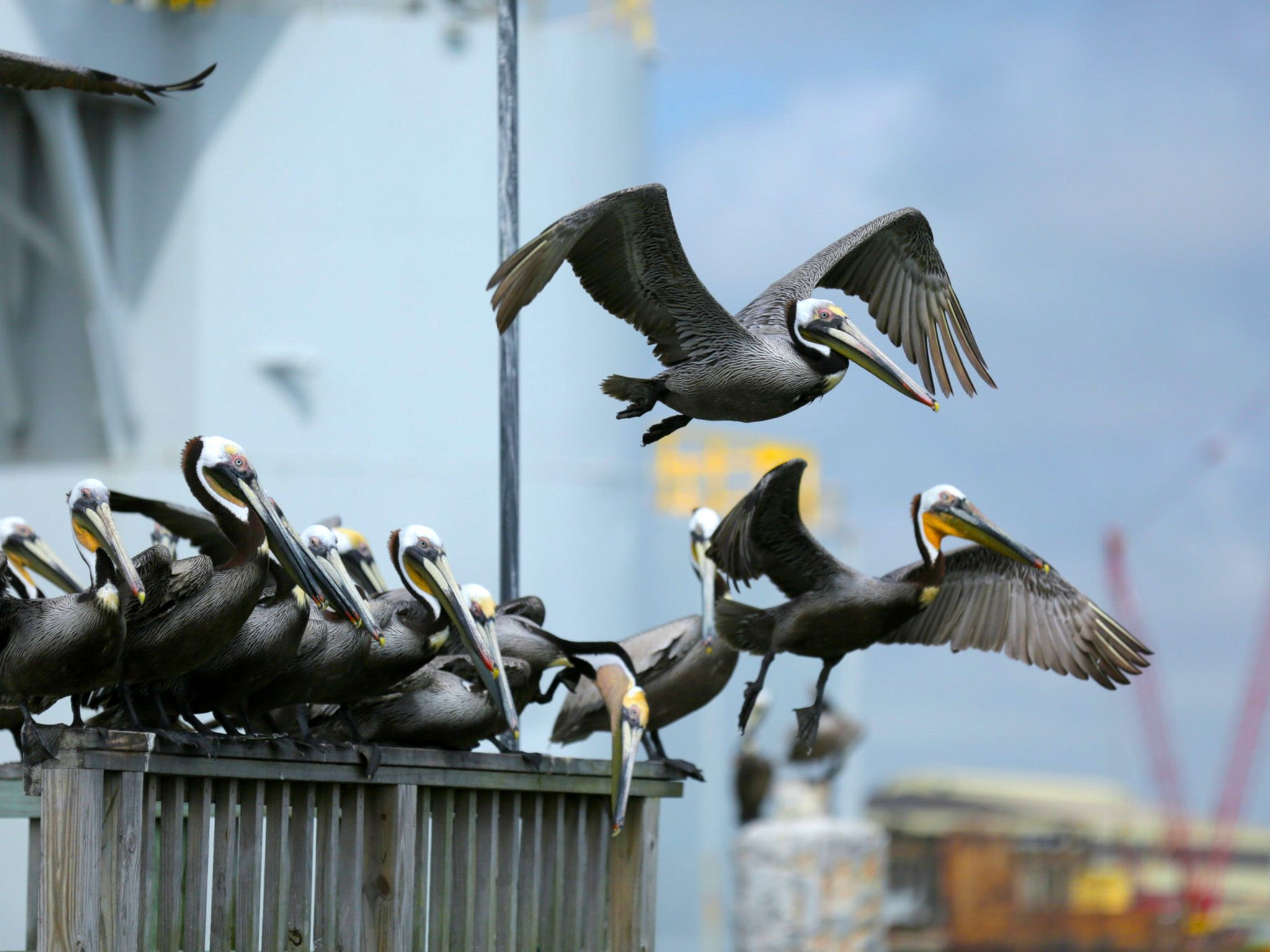 Galveston, Texas: Brown pelicans flying. This image is from Big Fish Texas. [Photo of the day - December 2015]