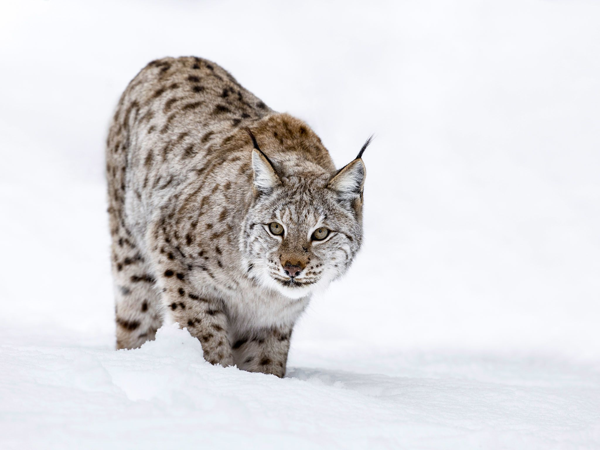 A Lynx in winter snow. This image is from Winter Wonderland. [Photo of the day - December 2015]