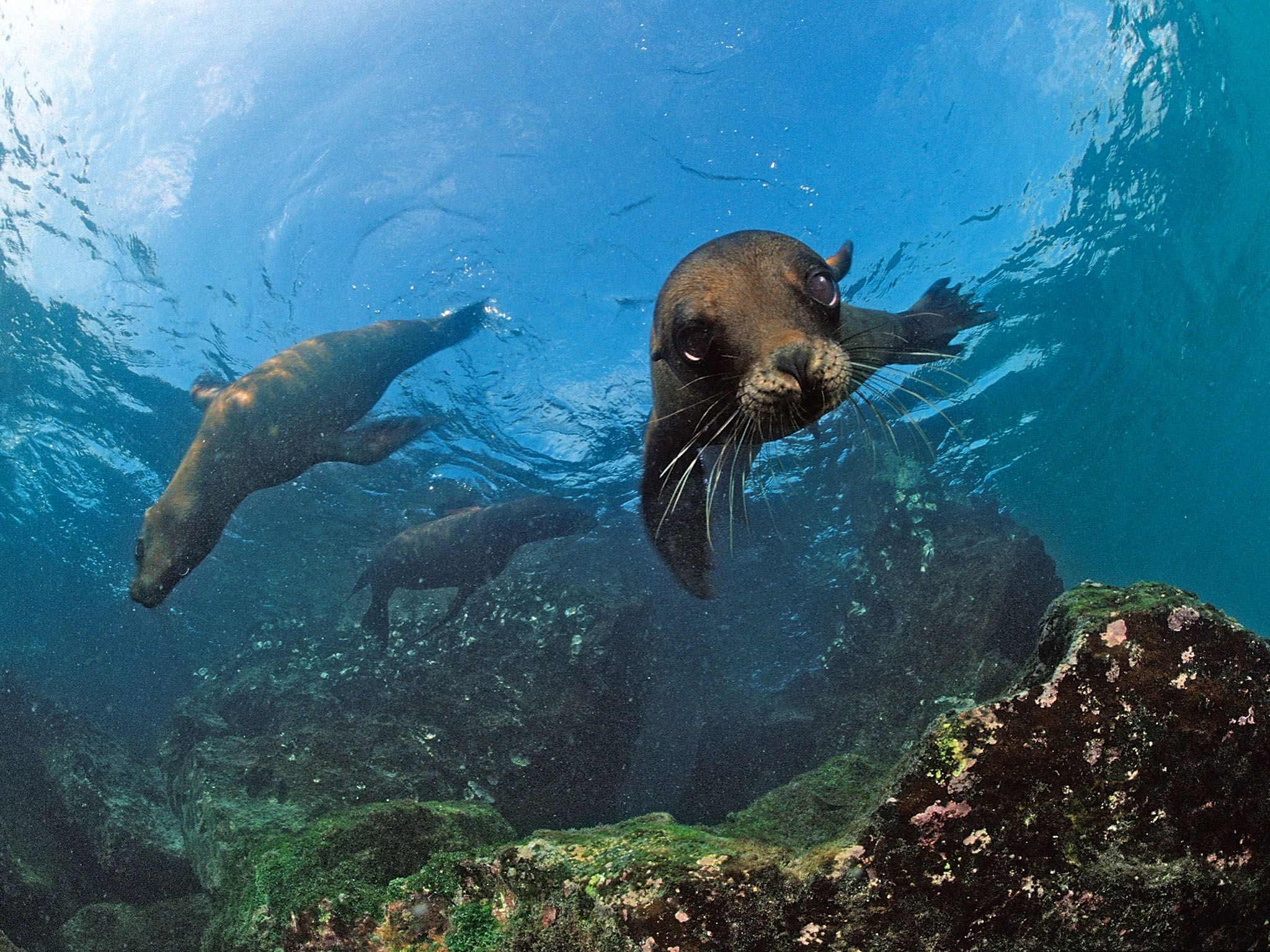 South Africa- South African Fur Seals swimming (Arctocephalus pusillus pusillus). These seals... [Photo of the day - January 2016]
