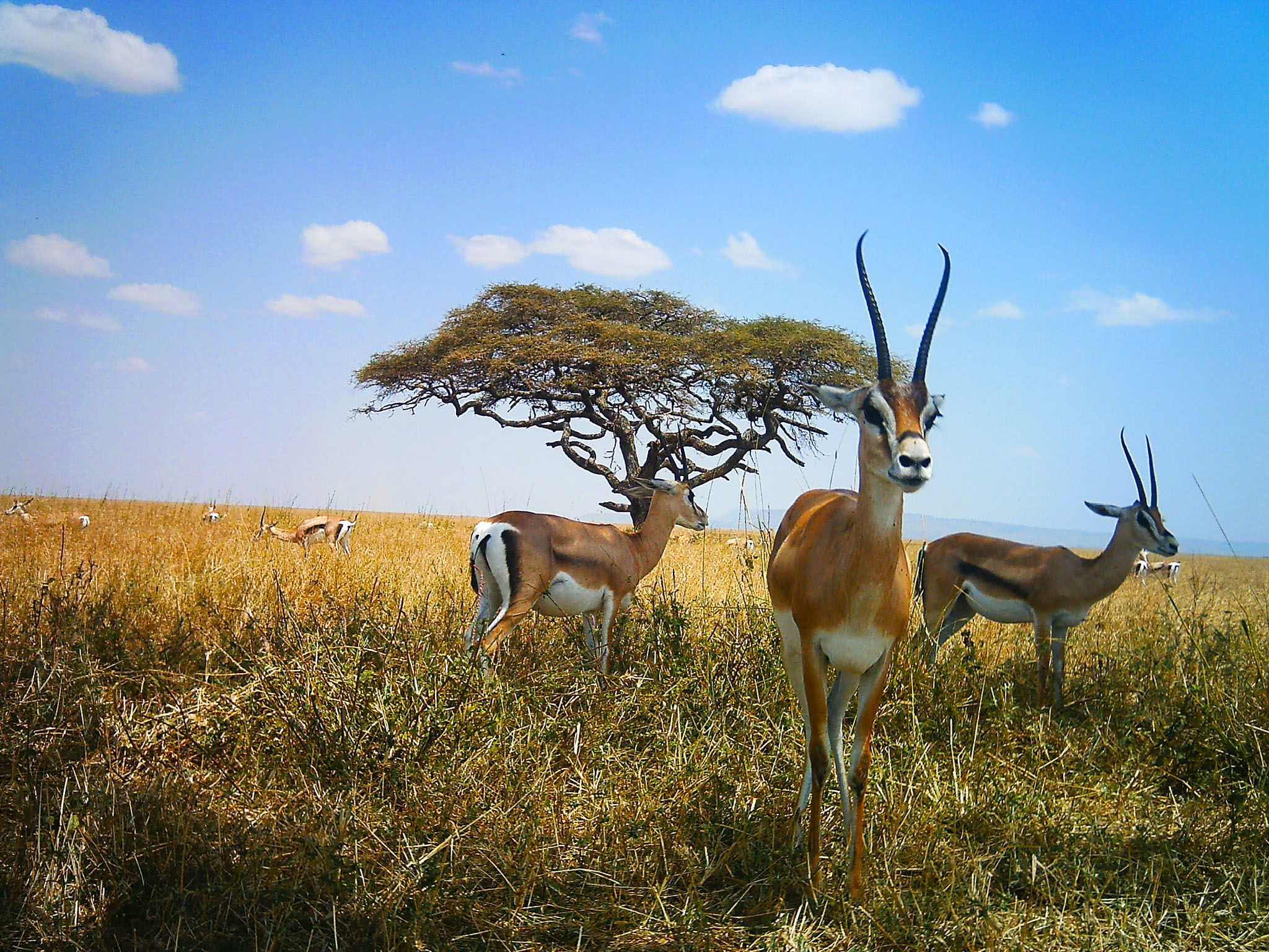 Serengeti National Park, Tanzania: Group of impalas in front of a tree. This image is from... [Photo of the day - January 2016]
