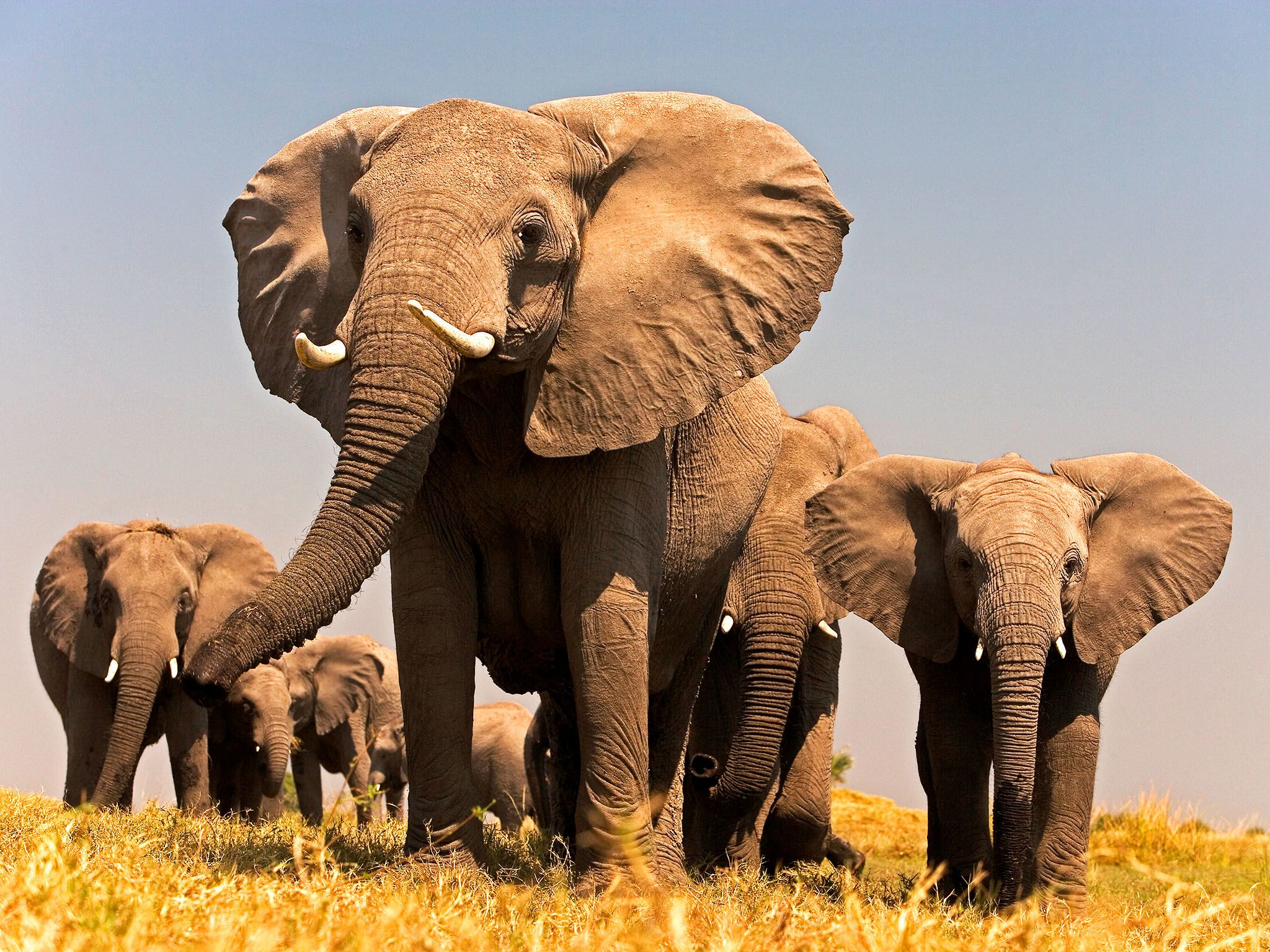 A family of elephants walk together in Botswana. This image is from When Elephants Weep. [Photo of the day - January 2016]
