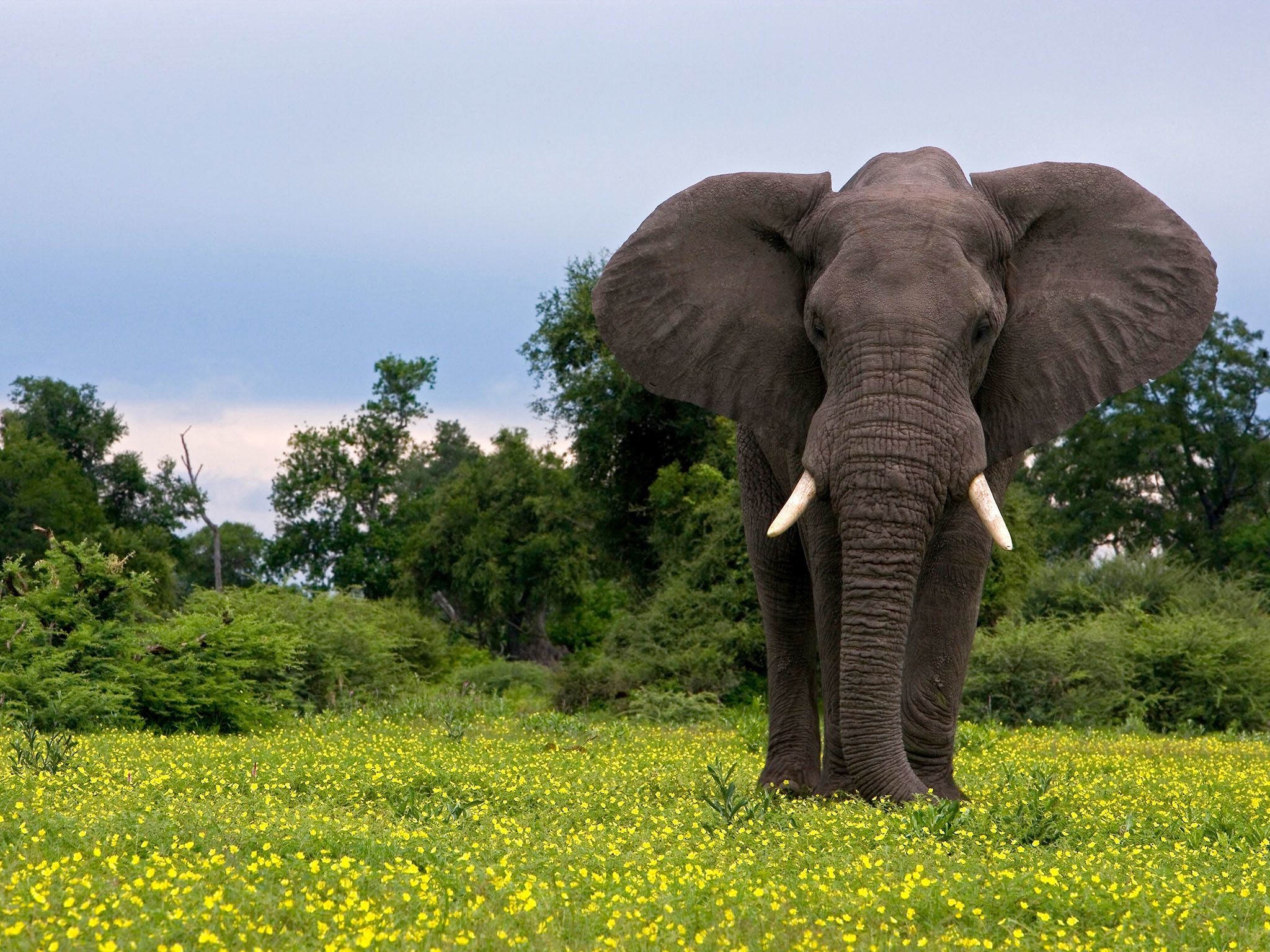 An elephant stands amongst yellow flowers and grass during the green season in Northern... [Photo of the day - January 2016]