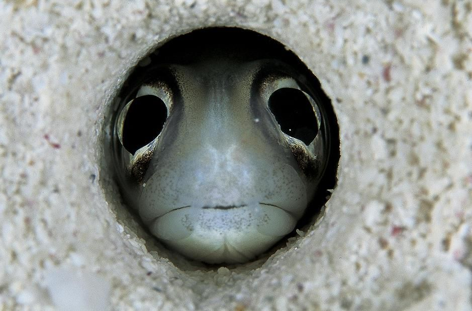 A conger eel peers wide-eyed through its sandy burrow in the Caribbean Sea. Cuba. [Photo of the day - August 2011]