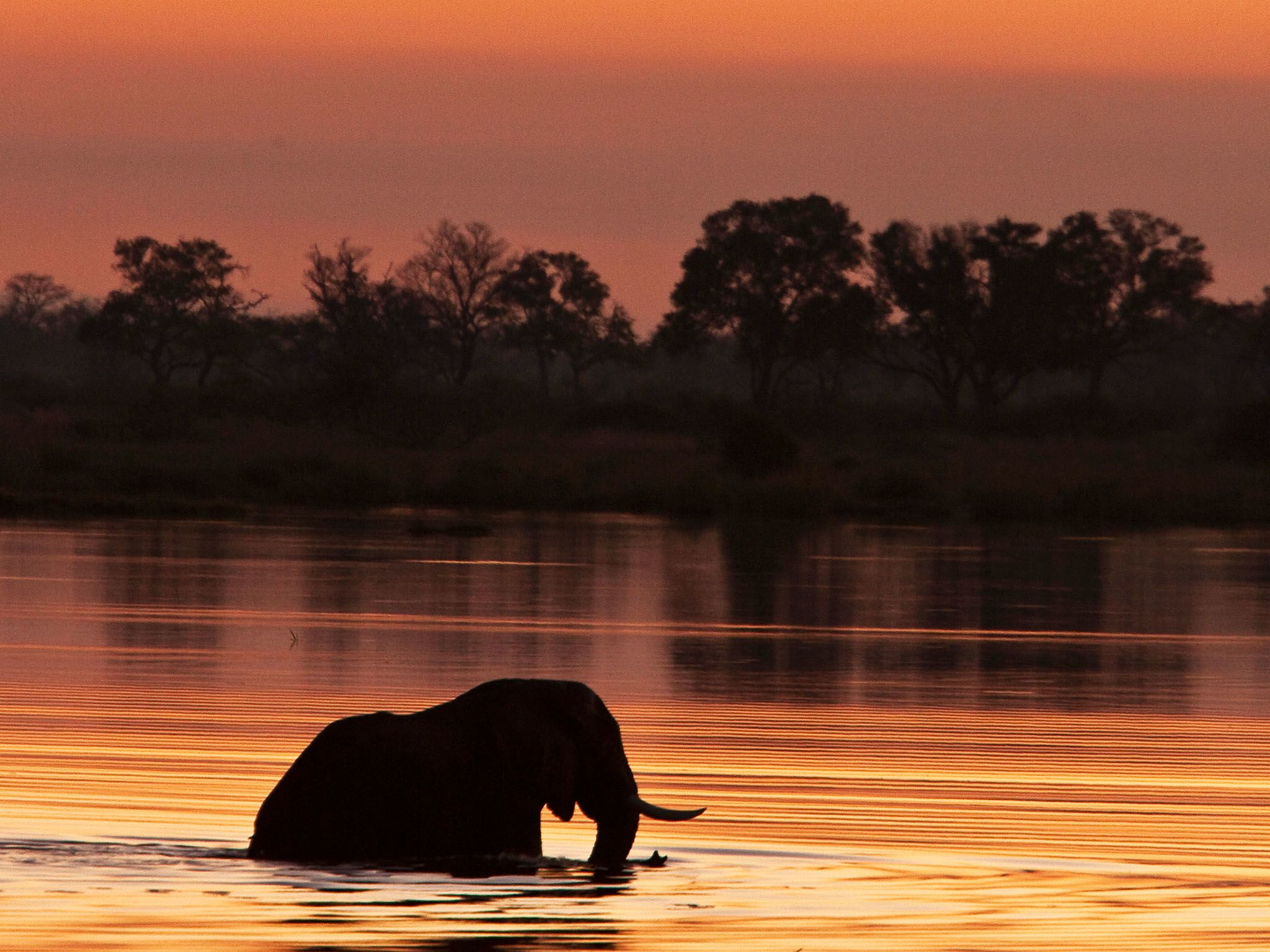An elephant is silhouetted as it wades through the water at sunset in Botswana. This image is... [Photo of the day - January 2016]