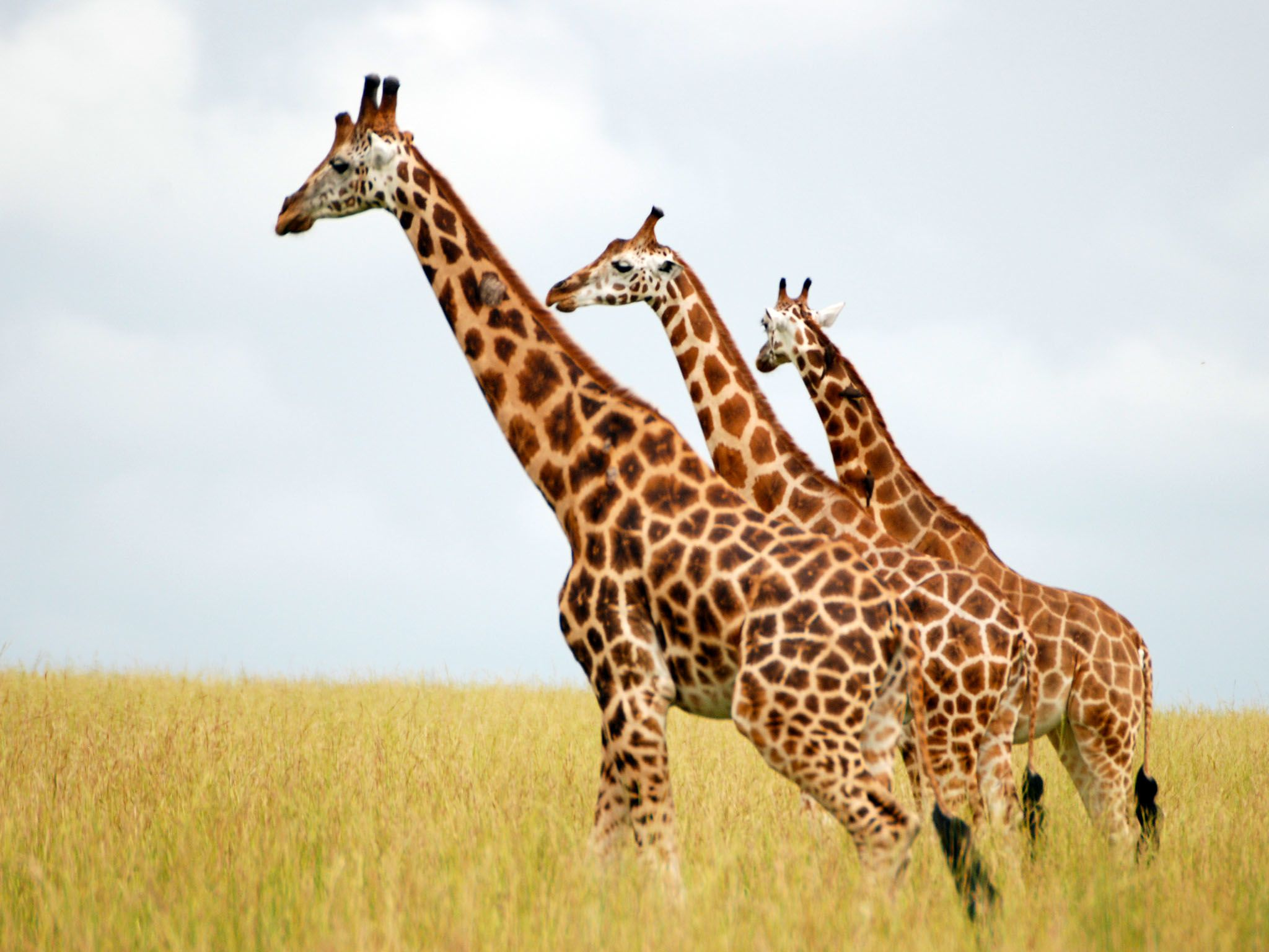 Three Giraffes looking to the left. This image is from Giraffe African Giant. [Photo of the day - January 2016]