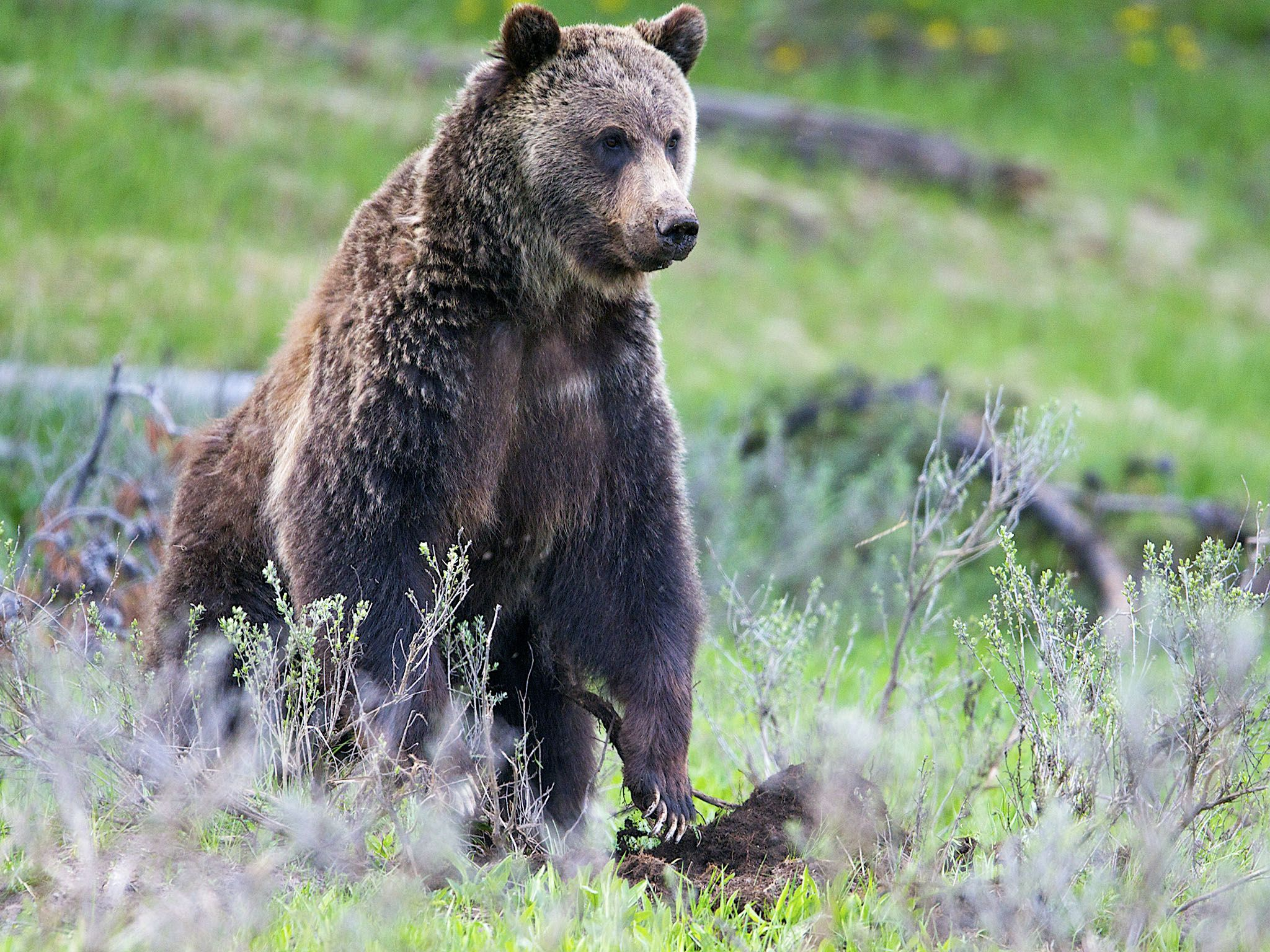 Yellowstone National Park: The Grizzly is the apex predator of the Yellowstone National Park.... [Photo of the day - February 2016]