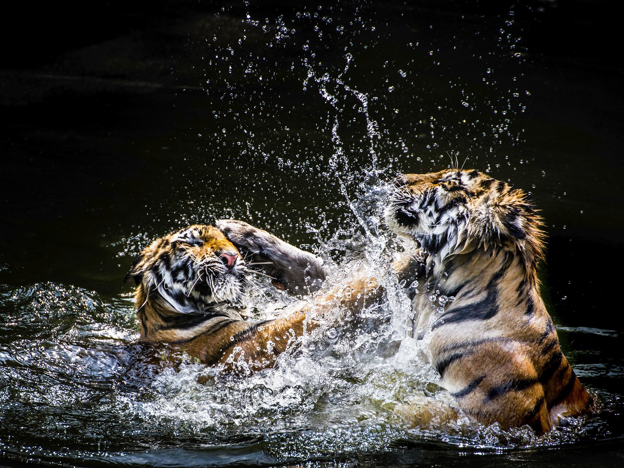 Tigers wrestle in the water. Tigers usually live 8 to 10 years in the wild. This image is from... [Photo of the day - فوریه 2016]