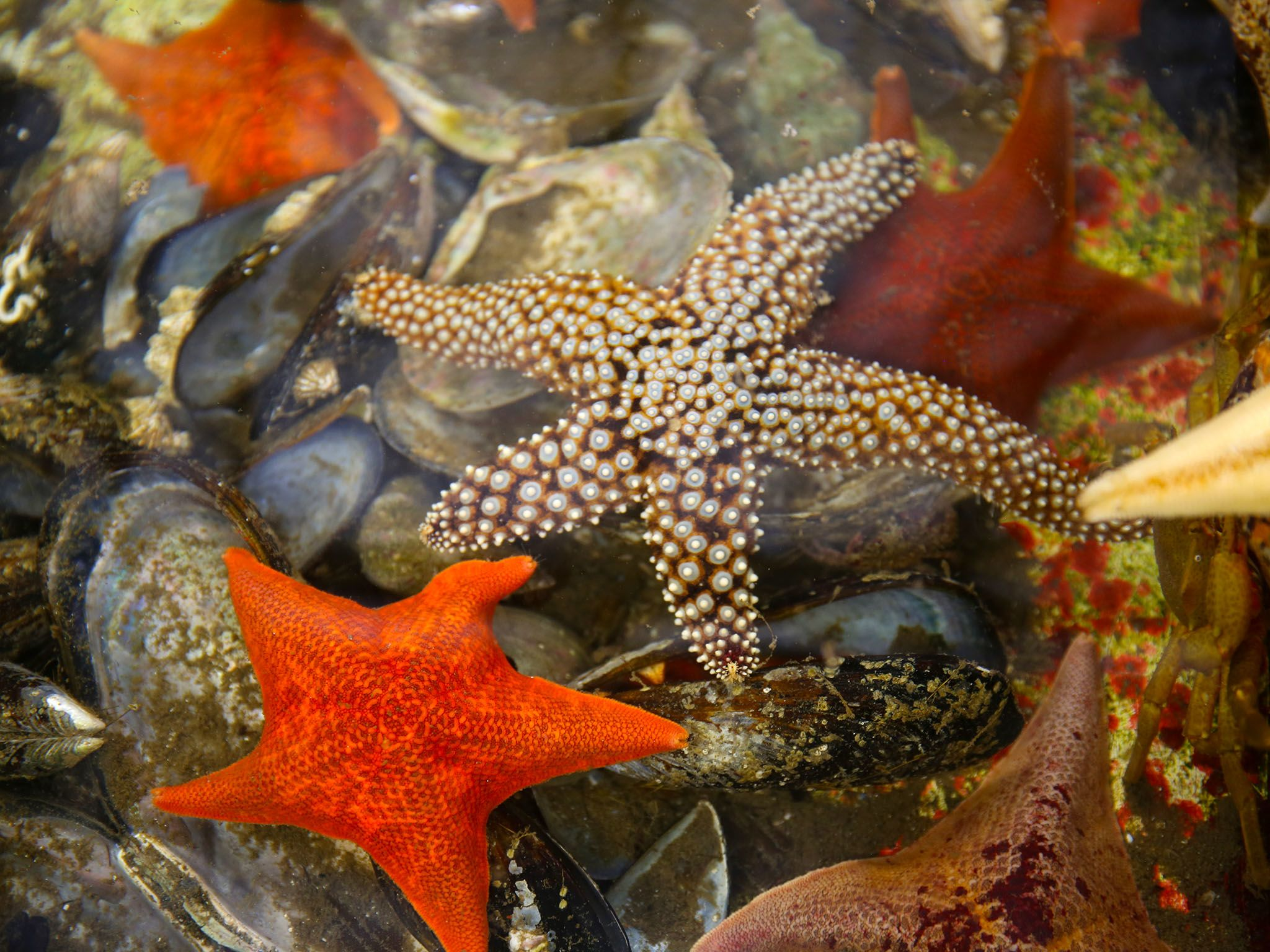 Santa Barbara, Calif.: Some star fish in a tide pool at UC Santa Barbara. This image is from... [Photo of the day - فوریه 2016]