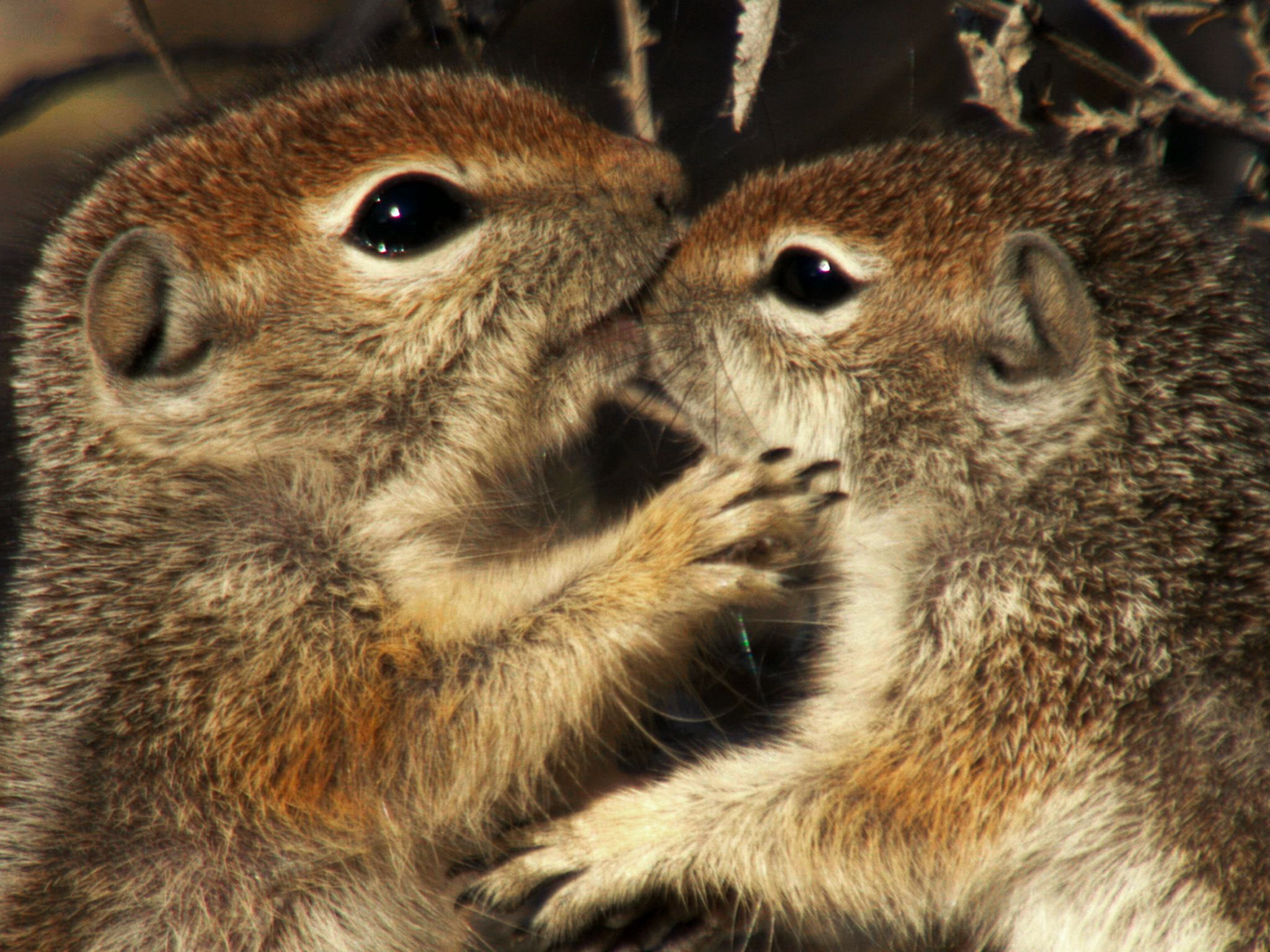 Saguaro National Park, Arizona: Young antelope squirrels play with each other. This image is... [Photo of the day - فوریه 2016]
