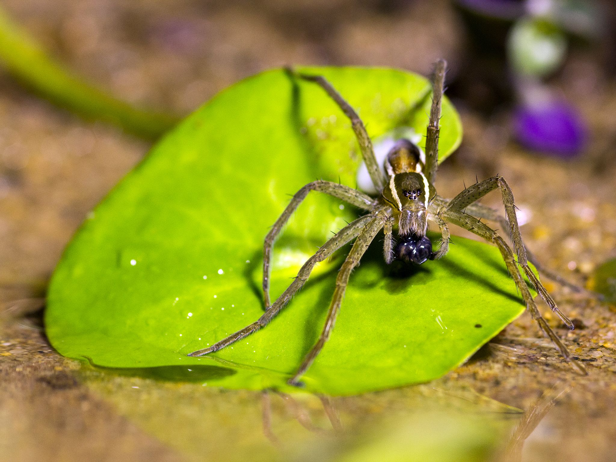 Durban, Kwazulu Natal, South Africa: Medium shot of the fishing spider. These spiders are... [Photo of the day - مارس 2016]