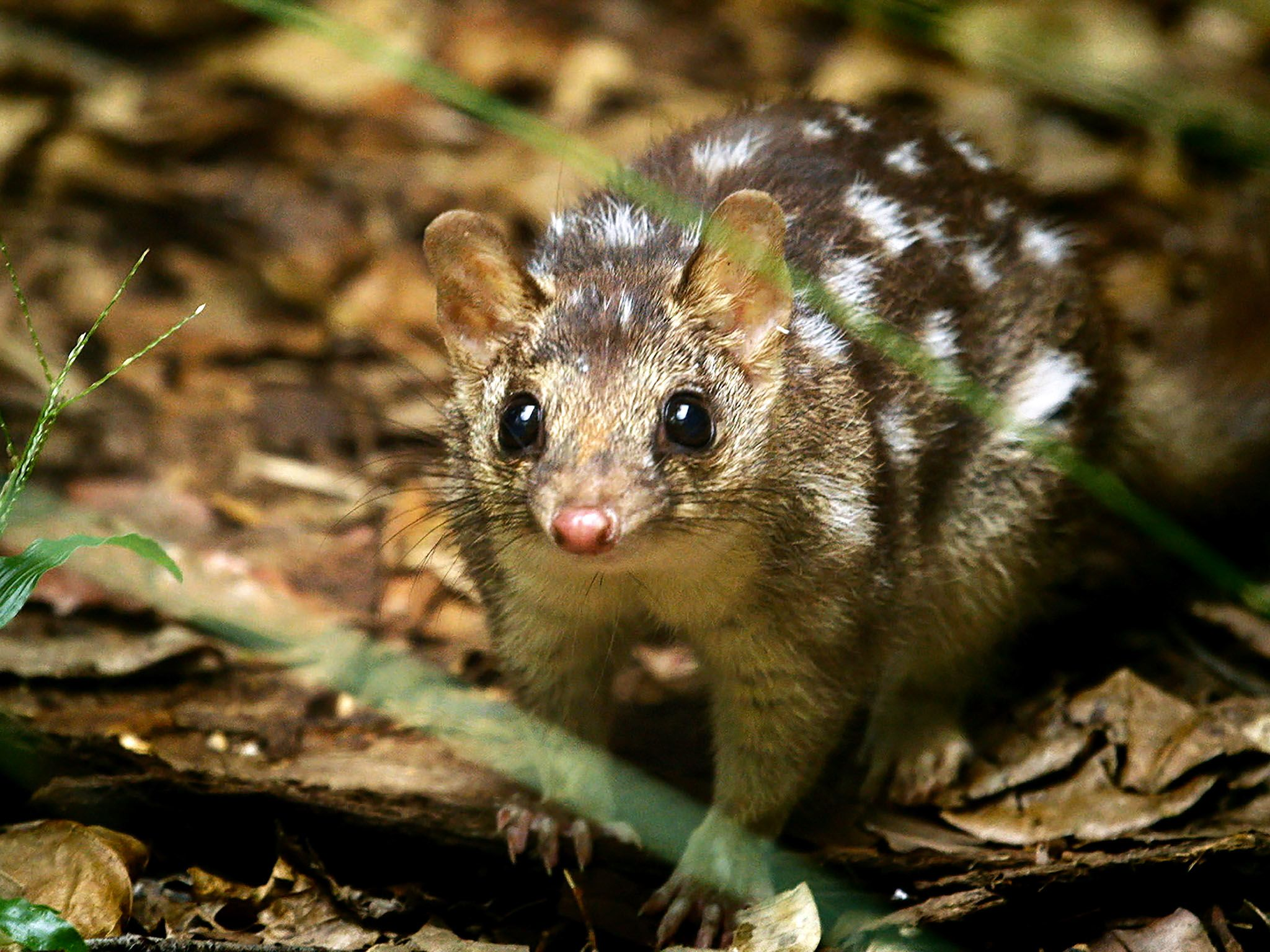 Northern Territory Wildlife Park, Northern Territory Australia: The Northern quoll (Dasyurus... [Photo of the day - مارس 2016]