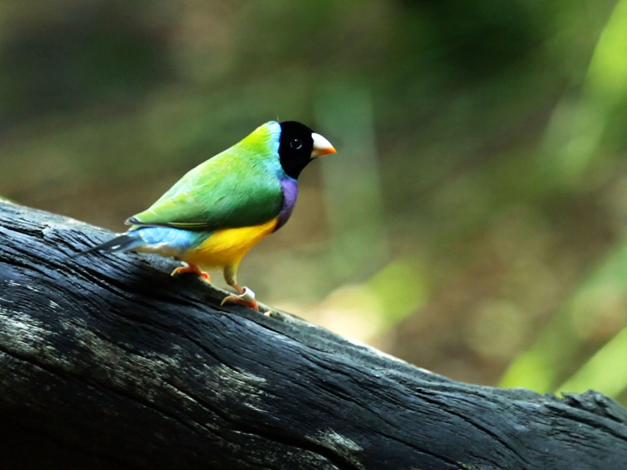 Northern Territory Wildlife Park, Northern Territory Australia: The gouldian finch (Erythrura... [Photo of the day - مارس 2016]