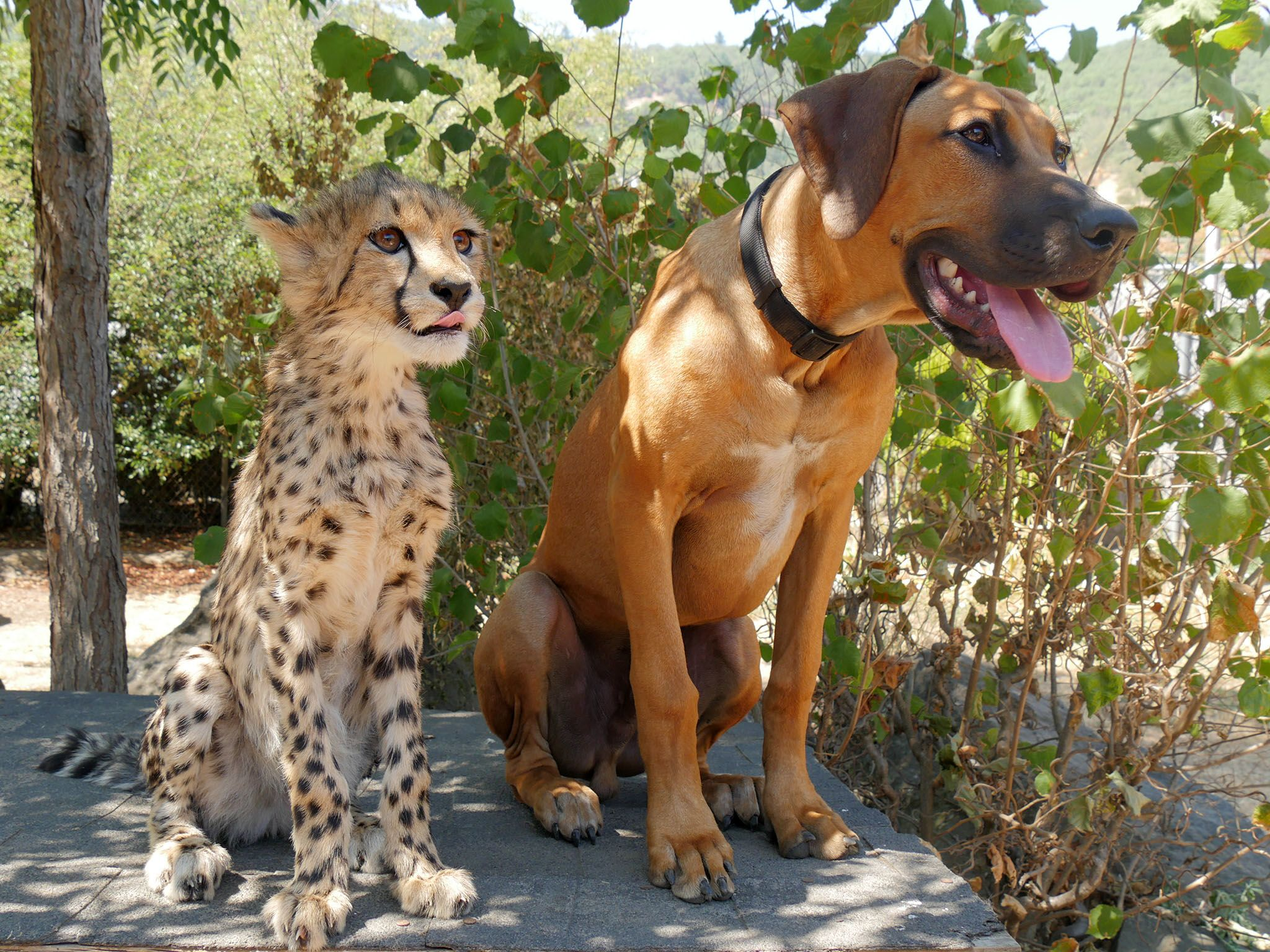 Winston, Ore.: Pancake, a cheetah, rests in the shade with her best friend Dayo, a Rhodesian... [Photo of the day - April 2016]