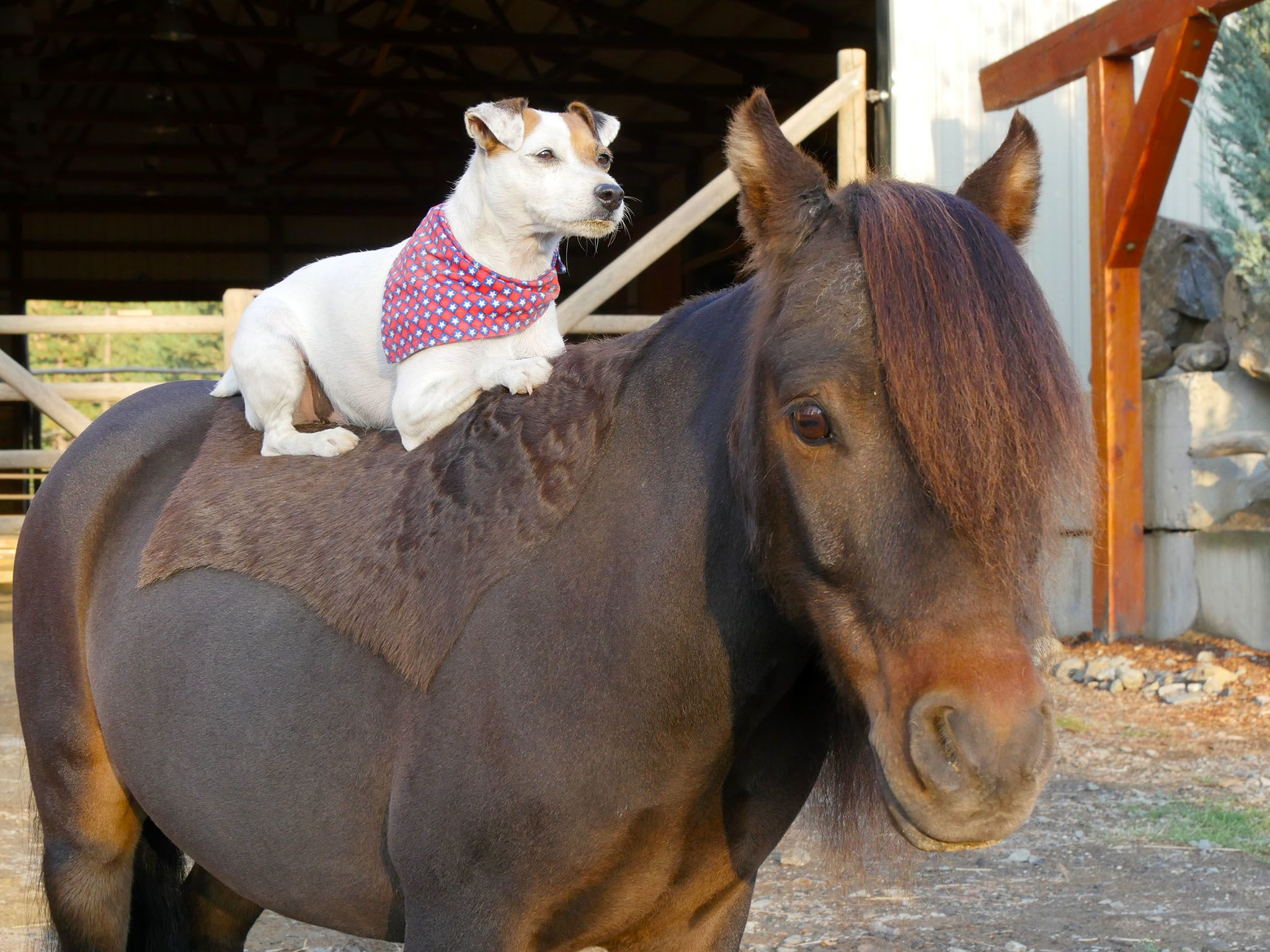 Hunters, Wash.:  Dally, the dog, loves to hitch a ride on his best friend  Spanky, a miniature... [Photo of the day - April 2016]