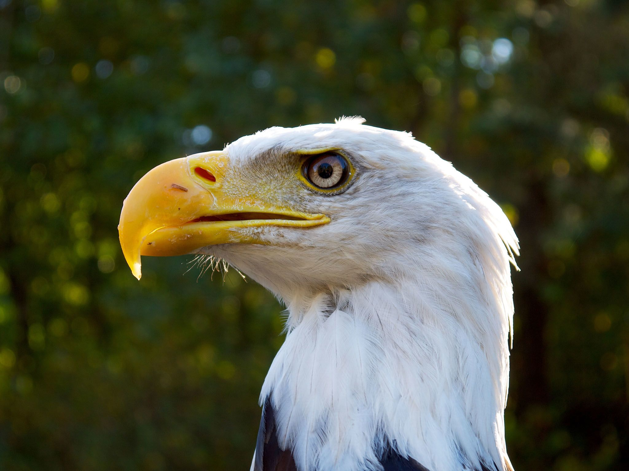 Vancouver:  The bald eagle is the only eagle unique to North America. It has a wingspan of over... [Photo of the day - April 2016]