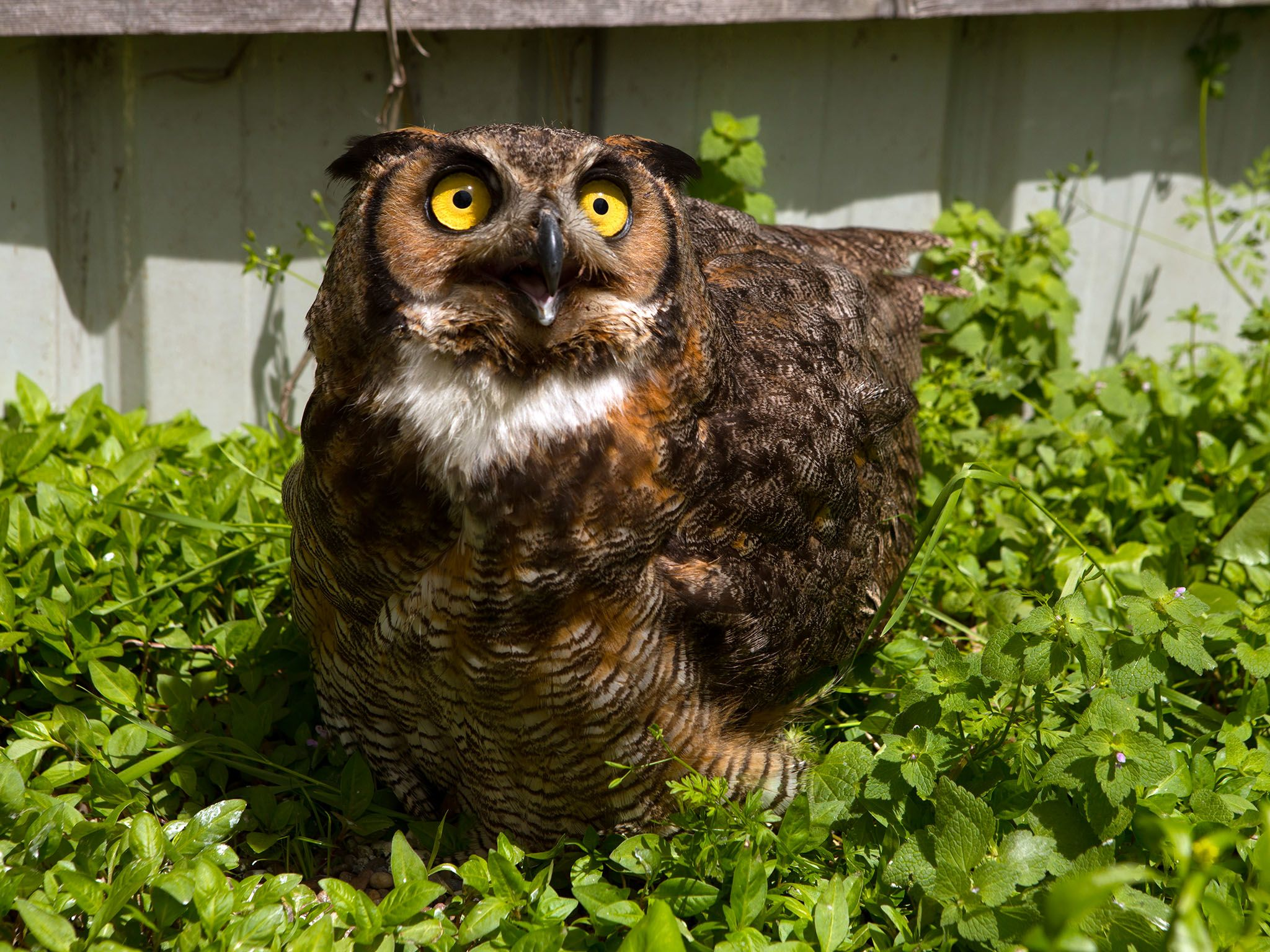 Owensboro, KY, USA: Even after some time at the Western Kentucky Raptor Center, Ingrid the Great... [Photo of the day - May 2016]