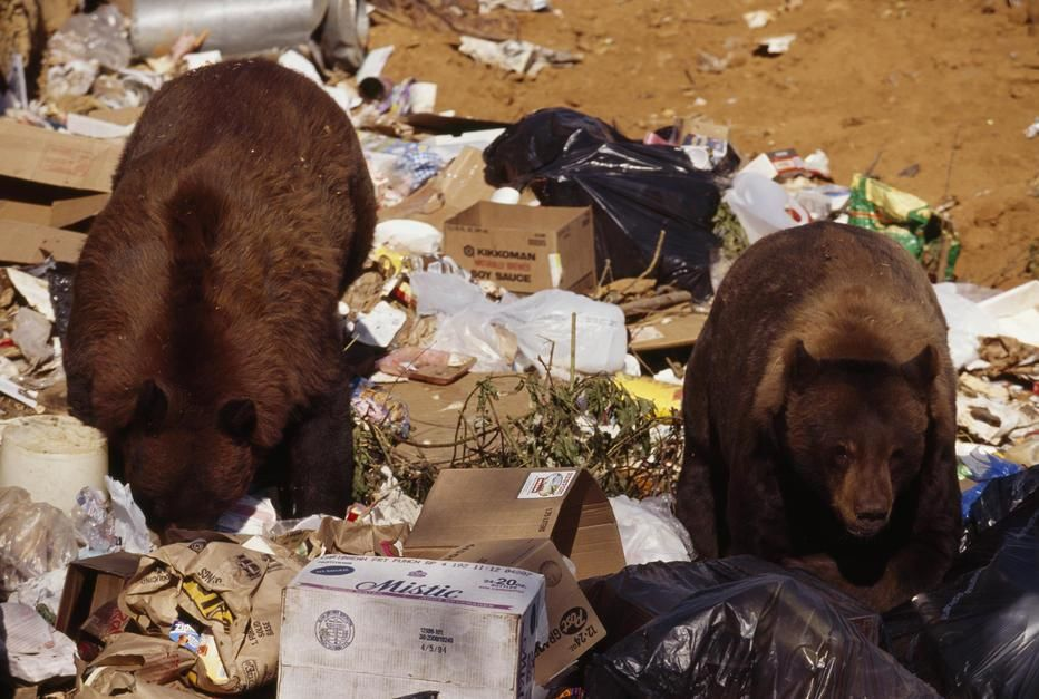 California black bears regularly raid the Happy Camp city dump for garbage food and are becoming... [Photo of the day - June 2011]