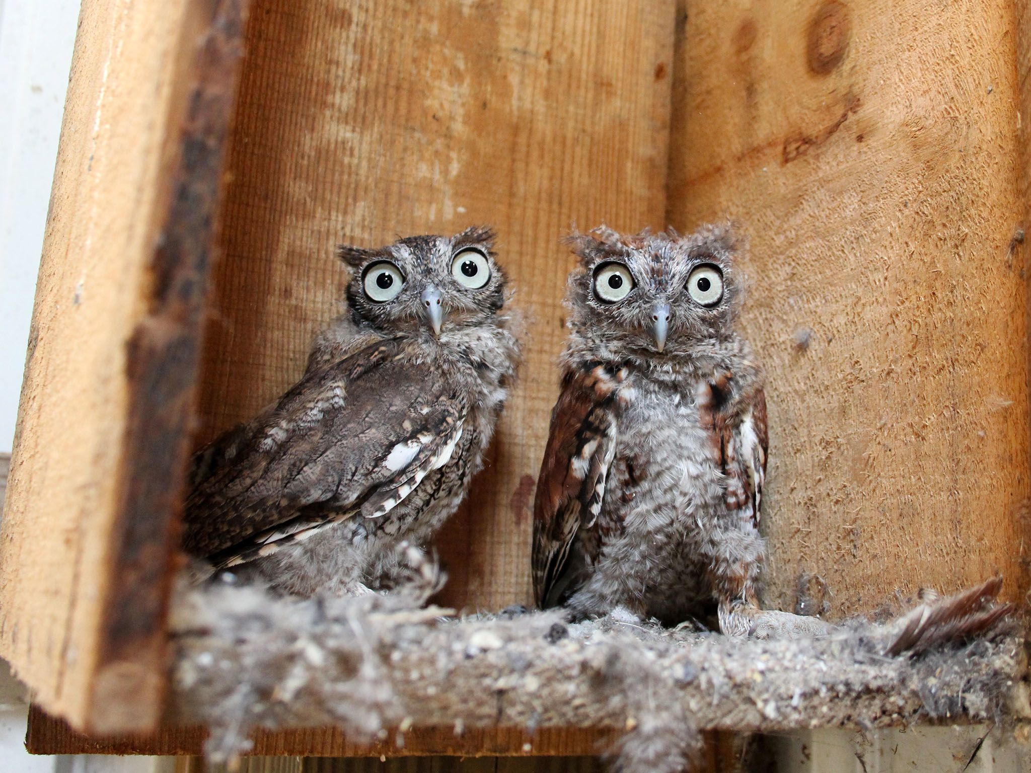 Owensboro, K.Y.: Eastern Screech Owl fledglings often remain close to their siblings. Licensed... [Photo of the day - May 2016]