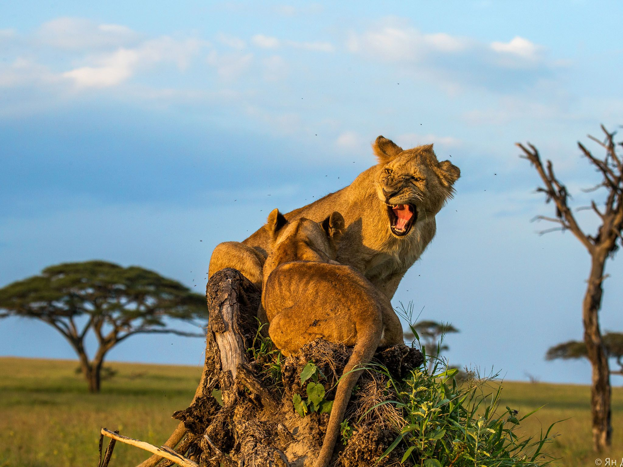 Tanzania, Africa: Lions crouching on mound of dirt and growling. This image is from MyGrations. [Photo of the day - May 2016]
