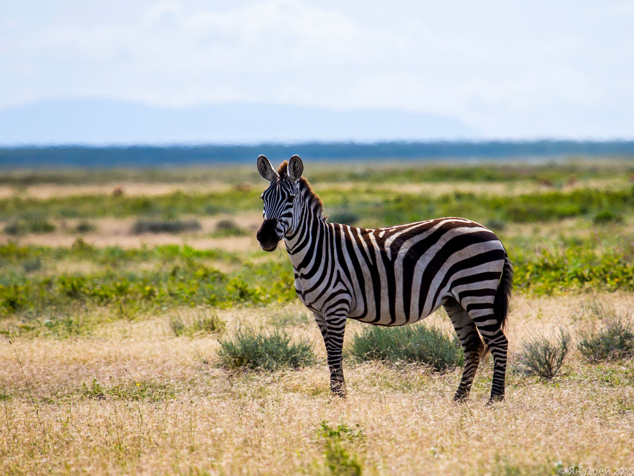 Tanzania, Africa: Solo Zebra on the Serengeti plains. This image is from MyGrations. [Photo of the day - May 2016]