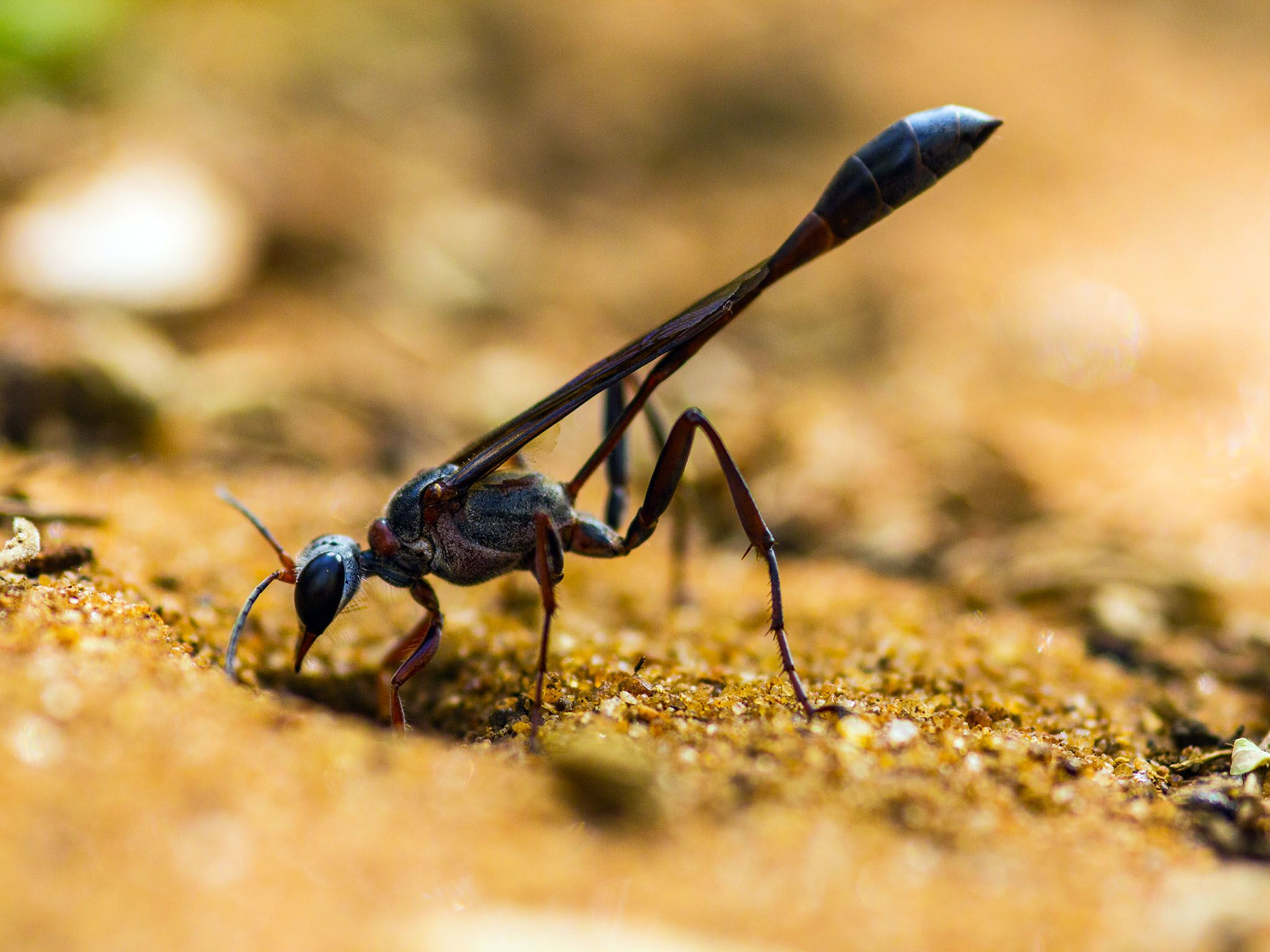 Durban, South Africa: A thread-waisted parasitic wasp standing on soil with head positioned... [Photo of the day - May 2016]
