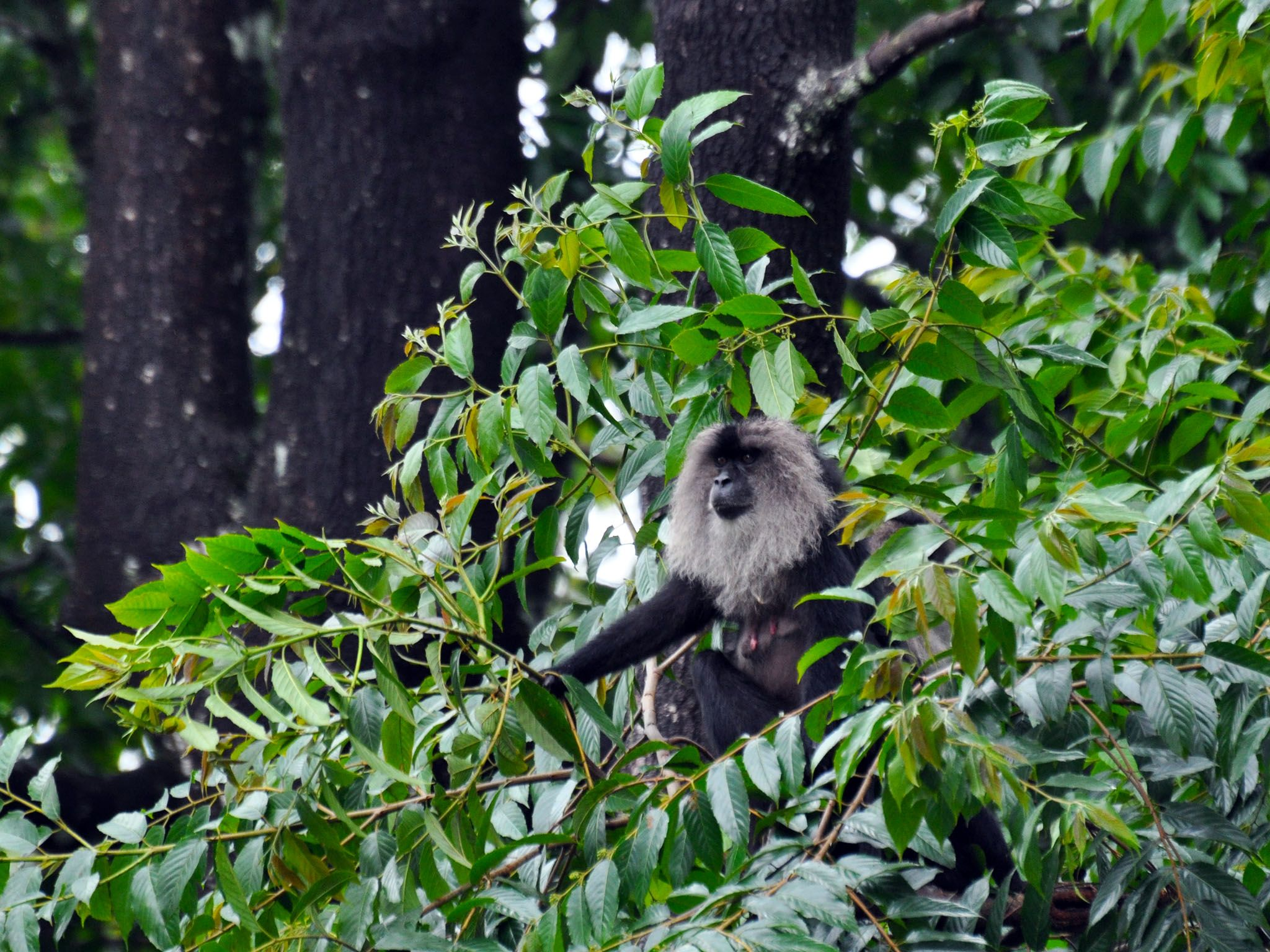 Western Ghats: Hidden among the leafy branches - is the rarest macaque in the world.  The... [Photo of the day - June 2016]