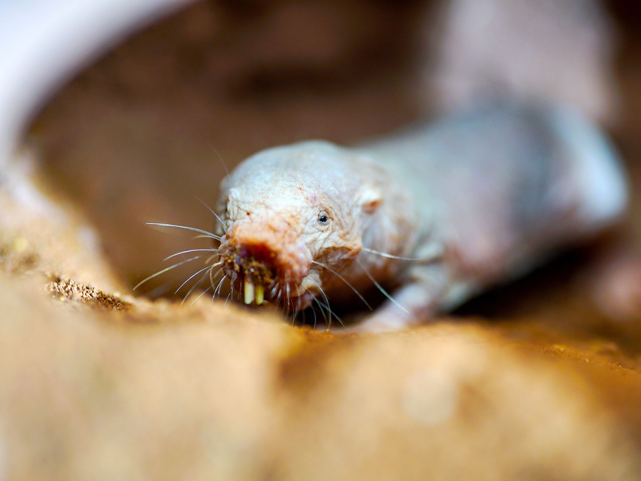 Cape Town, South Africa: A naked mole rat in sandy tunnel, showing incredible teeth built for... [Photo of the day - ژوئن 2016]