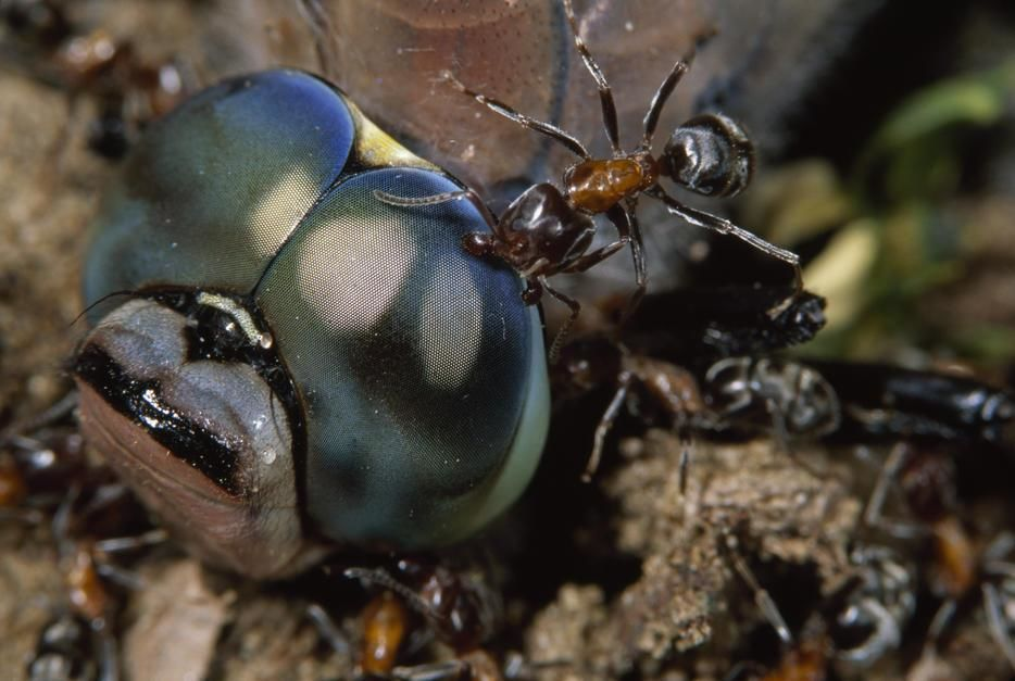 مورچه های ساکن چوب از یک سنجاقک امپراطور کوچک تغذیه... [Photo of the day - ژولیه 2011]