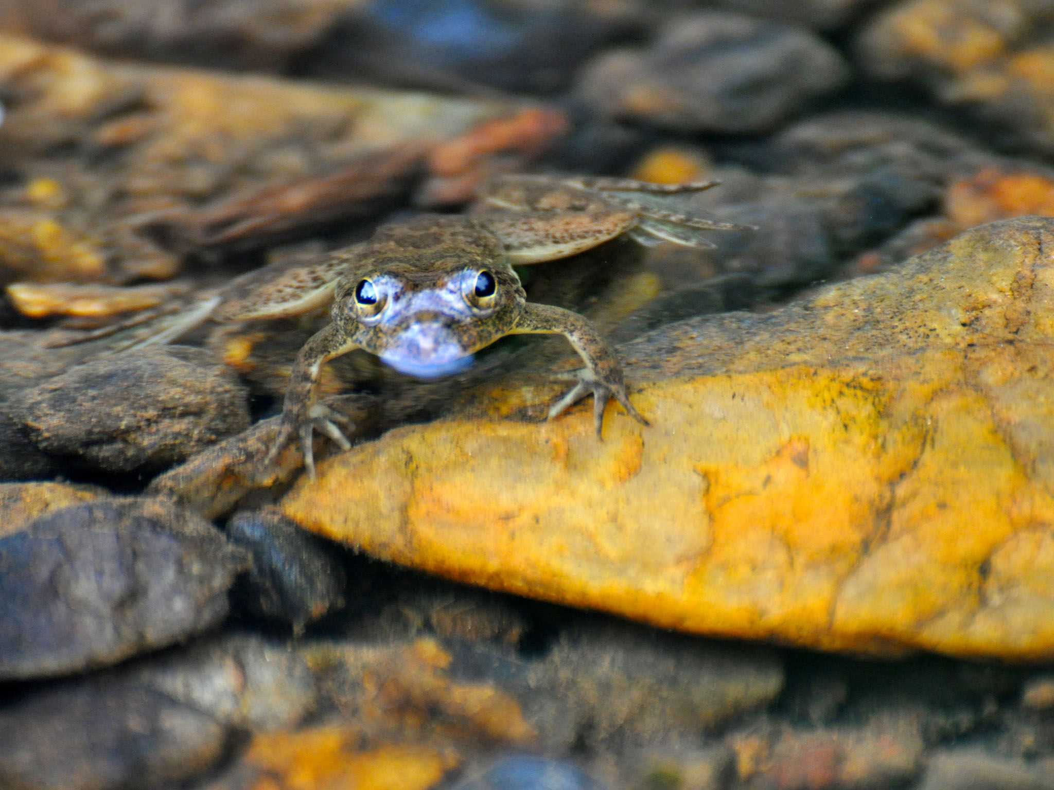 Western Ghats: A huge majority of the amphibians found in the Western Ghats are endemic, with... [Photo of the day - June 2016]