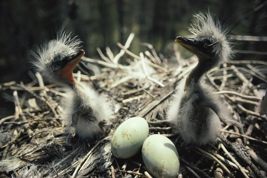 Two great blue heron fledglings sit near eggs in a nest, Idaho. [Photo of the day - July 2011]