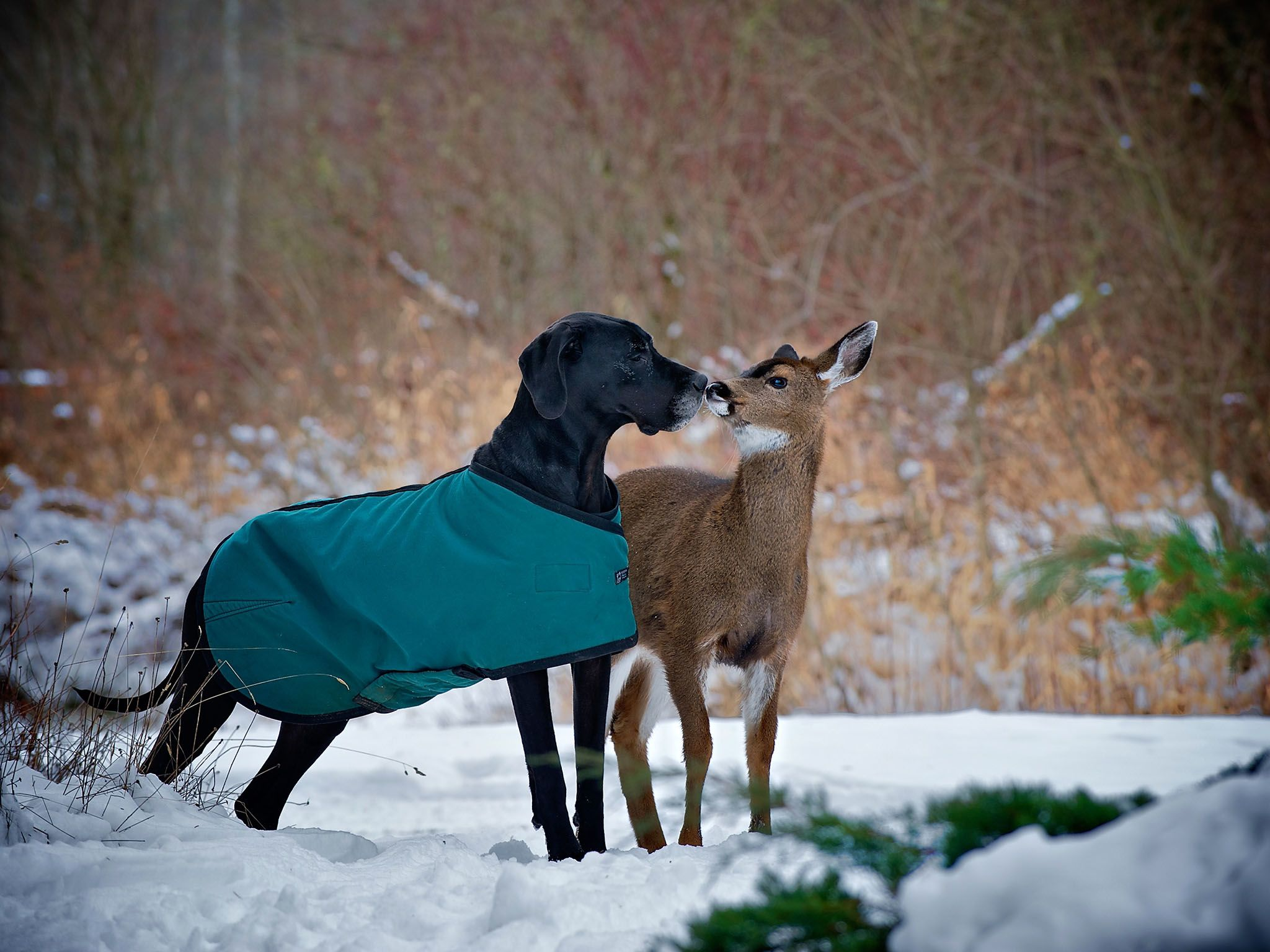 Courtenay, BC, Canada: Kate the dog and Pippin the deer kiss. This image is from Unlikely Animal... [Photo of the day - ژولیه 2016]