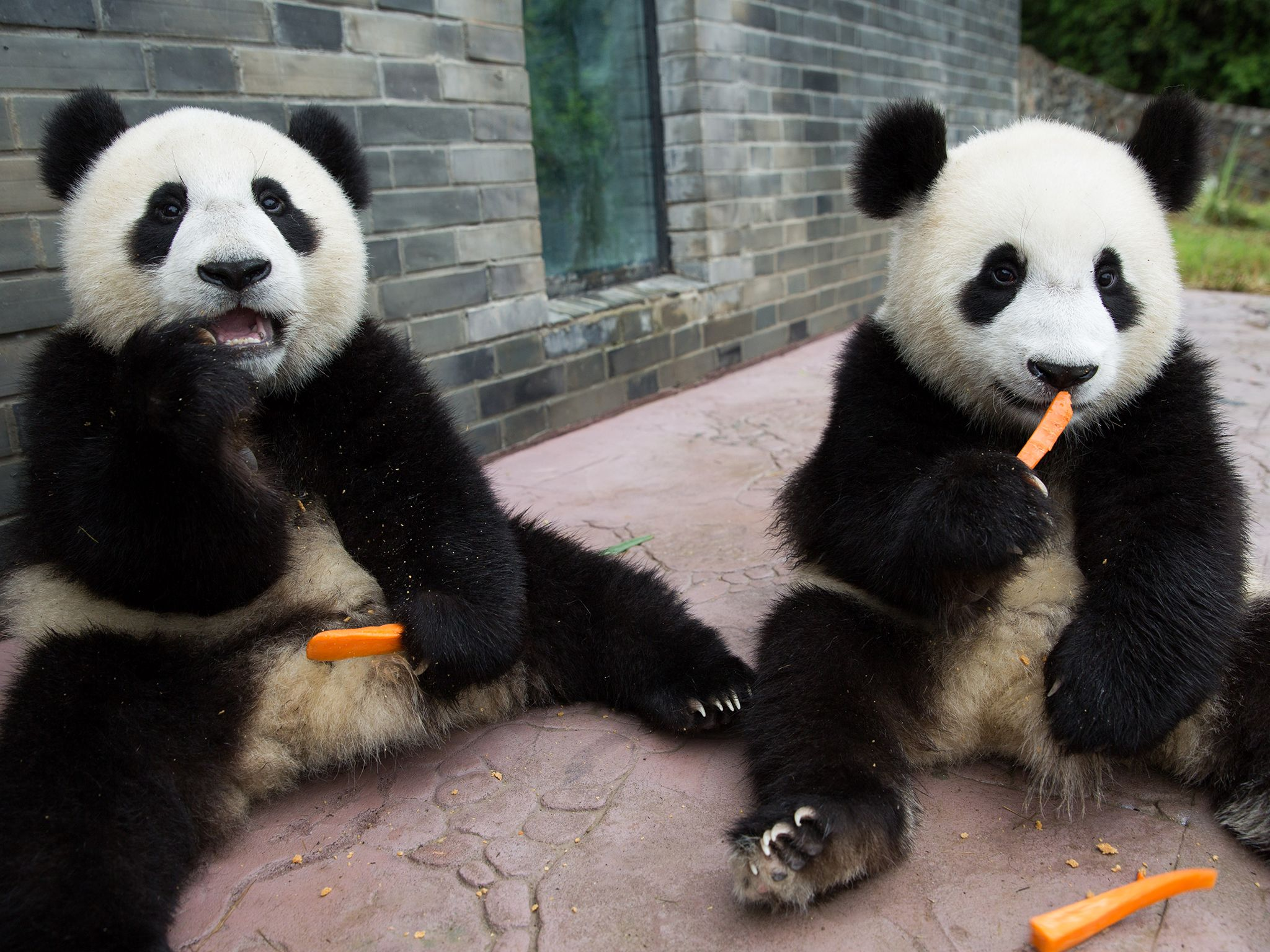 Young Pandas eating carrots. This image is from Panda Babies. [Photo of the day - July 2016]