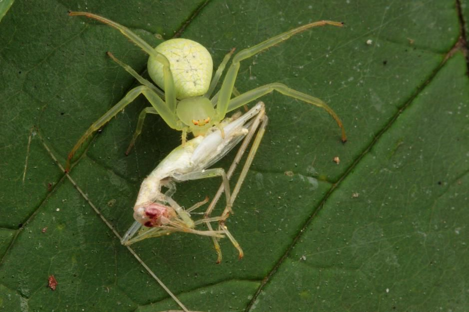 Crab spider with cricket prey in Maryland. [Photo of the day - July 2011]