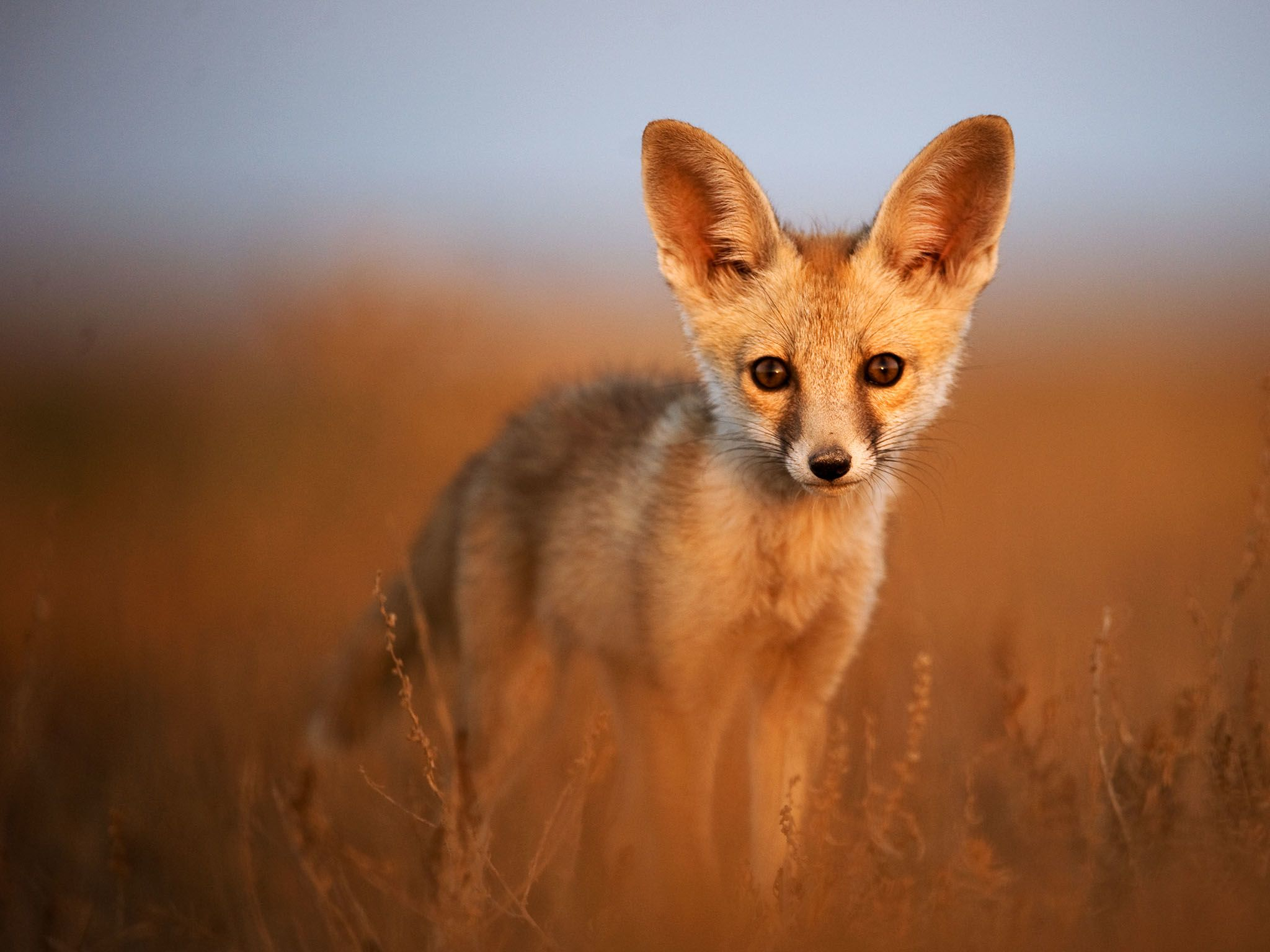 Gir National Park, Gujarat, India: Close-up of a desert fox looking into the camera. This image... [Photo of the day - July 2016]